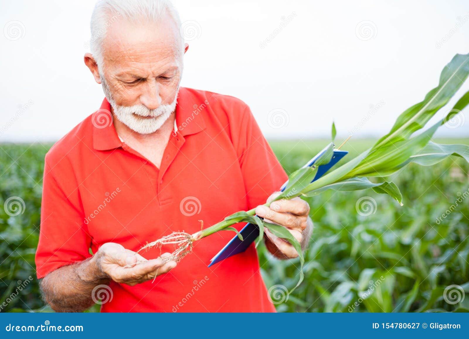 Ernster grauer behaarter älterer Agronom oder Landwirt in Untersuchungsmaispflanzenwurzeln des roten Hemdes