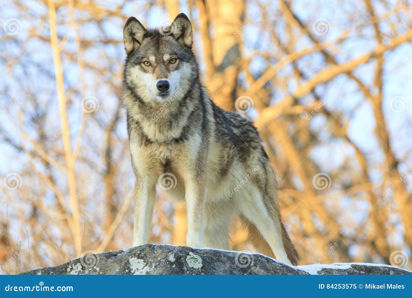 Ernstig staar neer door wolf