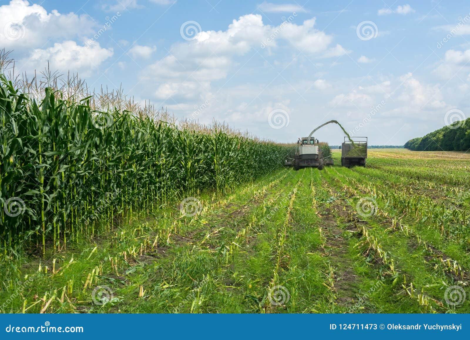 Ernte der saftigen Maissilage durch einen Mähdrescher und einen Transport durch LKWs, für das Legen auf Tierfutter