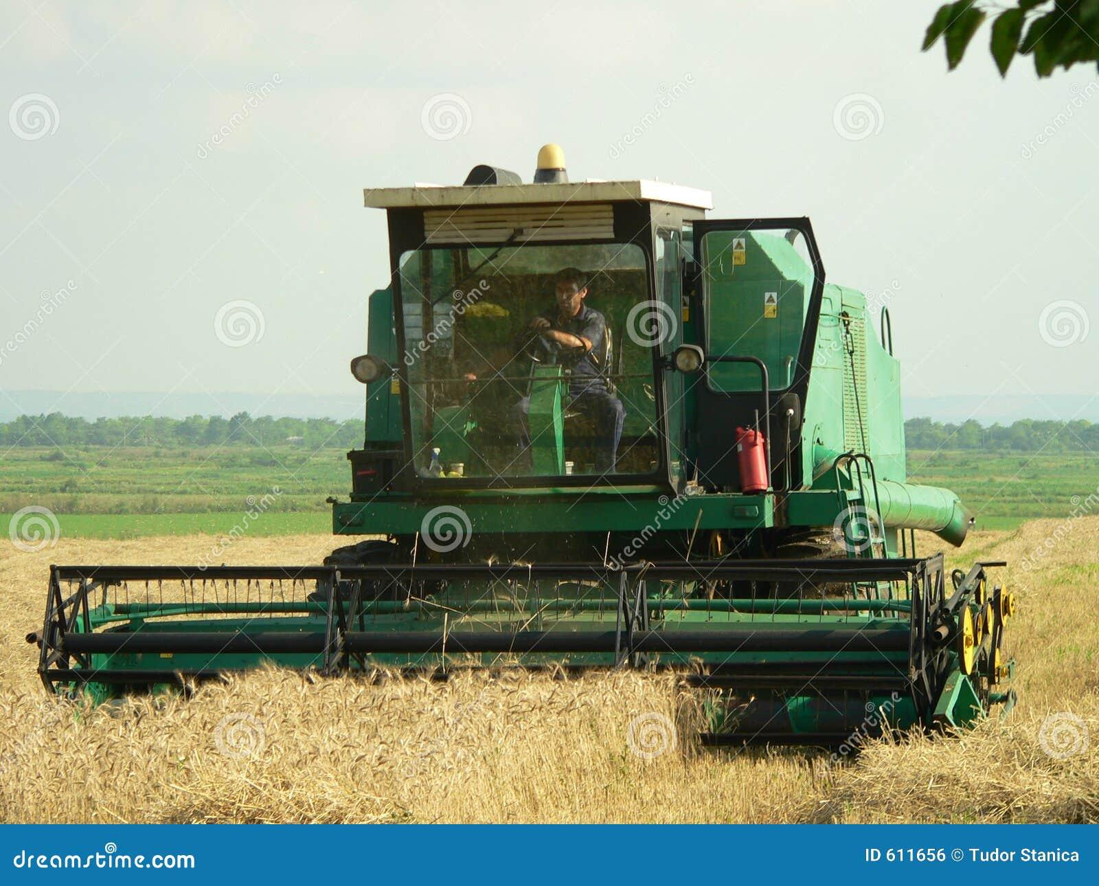 Ernten des Weizens