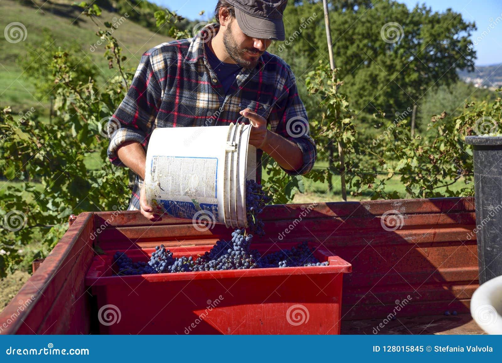 Ernten Sie, Landwirt bei der Arbeit in den italienischen Weinbergen sammeln Trauben für