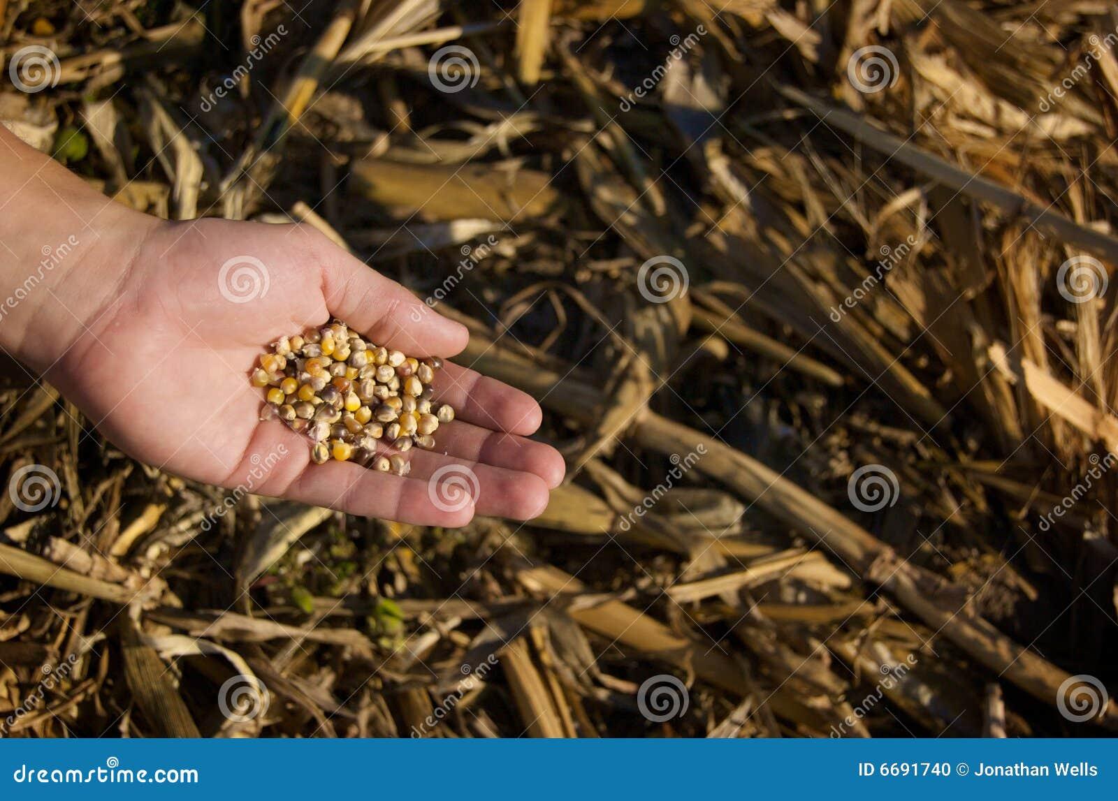 Ernten von Mais