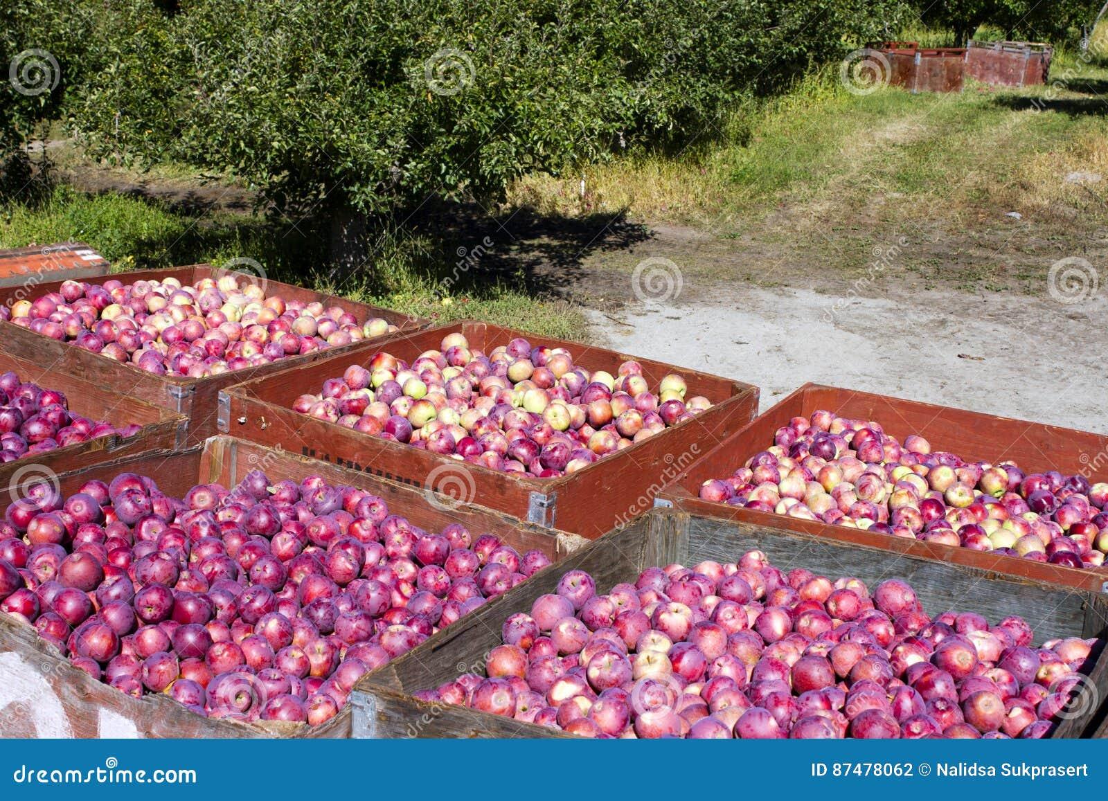 Ernten von organischen roten Äpfeln