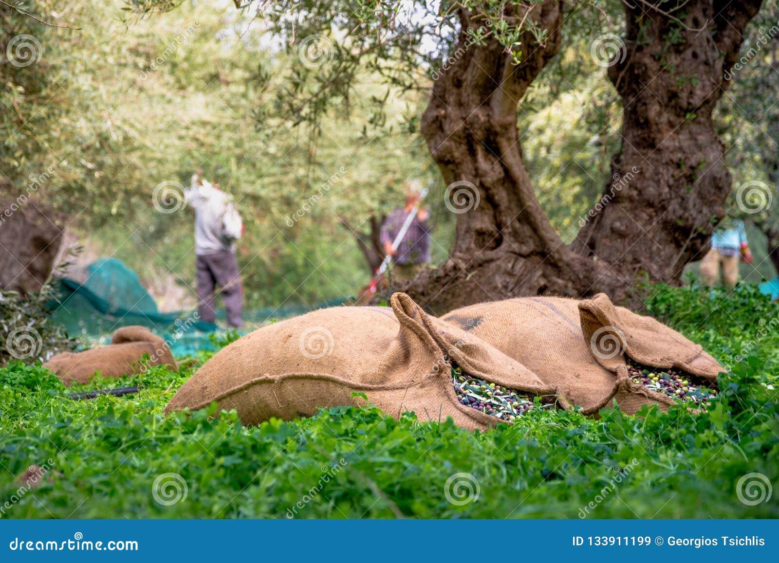 Erntete neue Oliven in den Säcken auf einem Gebiet in Kreta, Griechenland