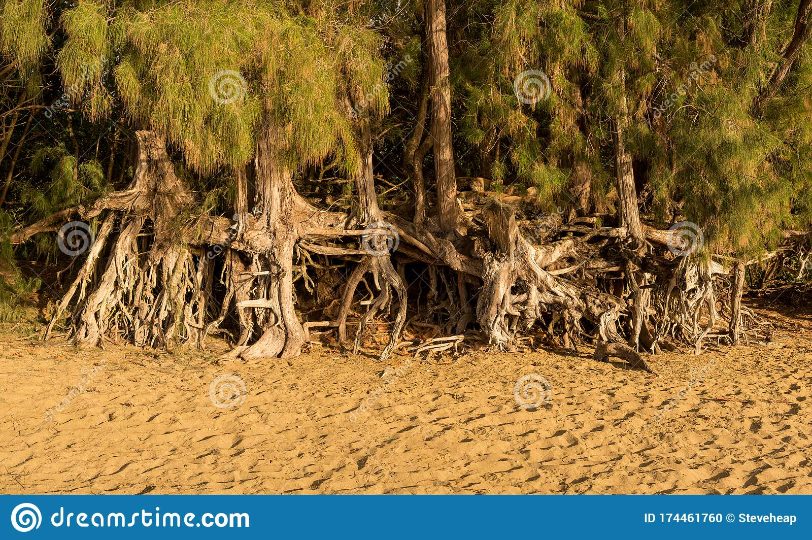 Eroded Roots Of The Trees Along Kee Beach From Ocean Waves On North Shore  Of Kauai Stock Photo - Image of nobody, destination: 174461760