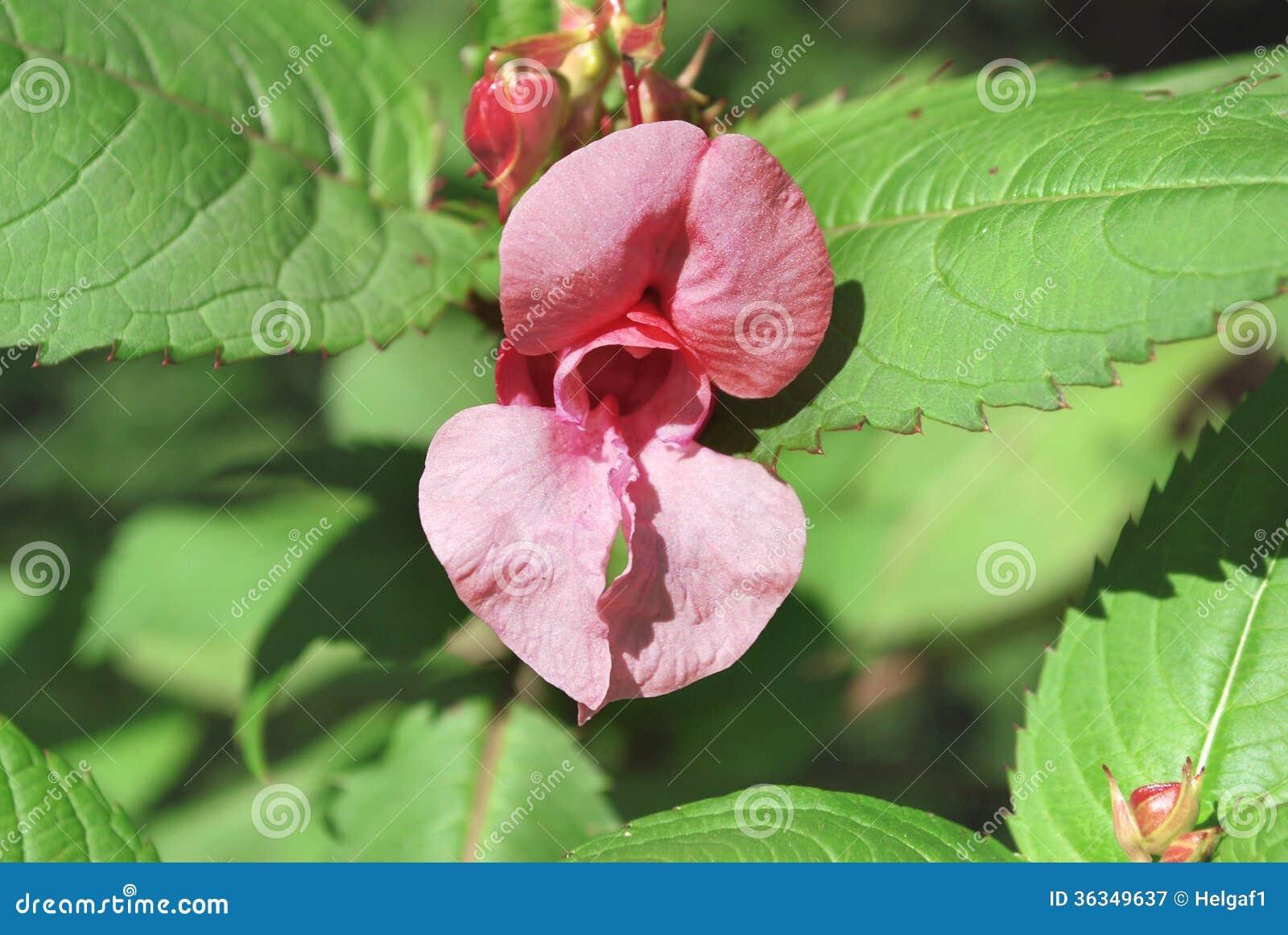 erotische rosa blume stockbild bild von blatt empfindlich 36349637. Black Bedroom Furniture Sets. Home Design Ideas