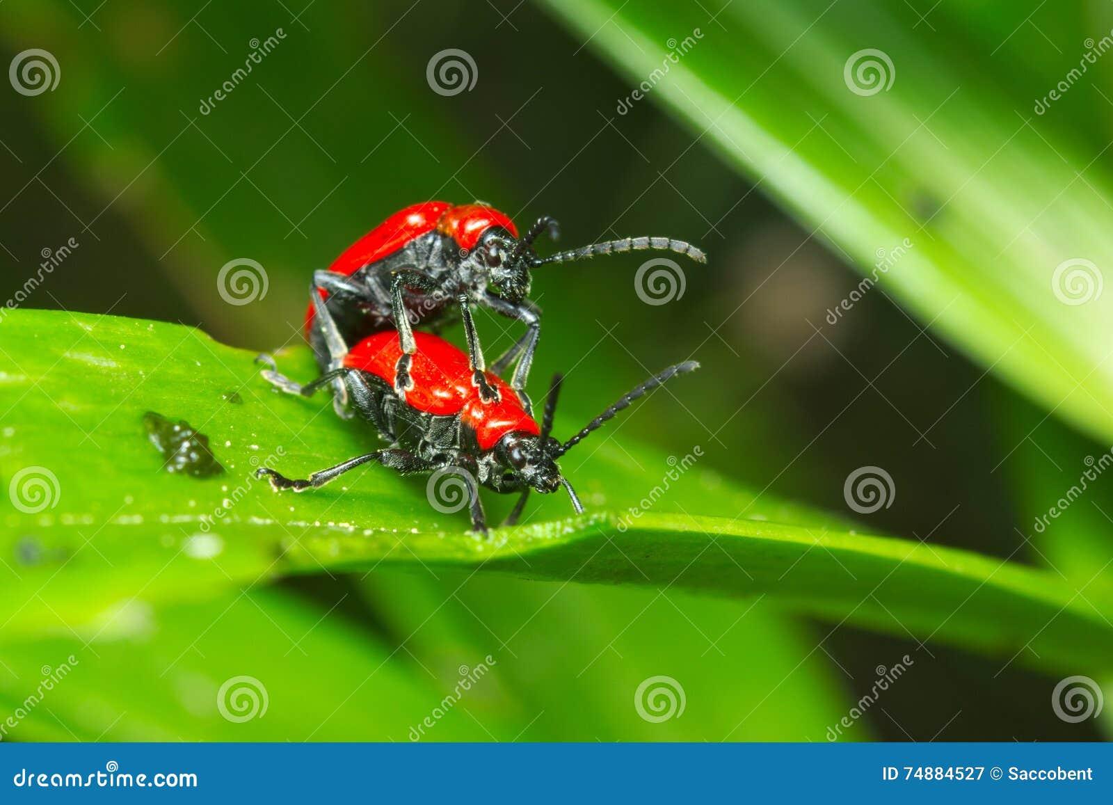 Erros vermelhos (coleópteros) que acoplam-se em uma folha