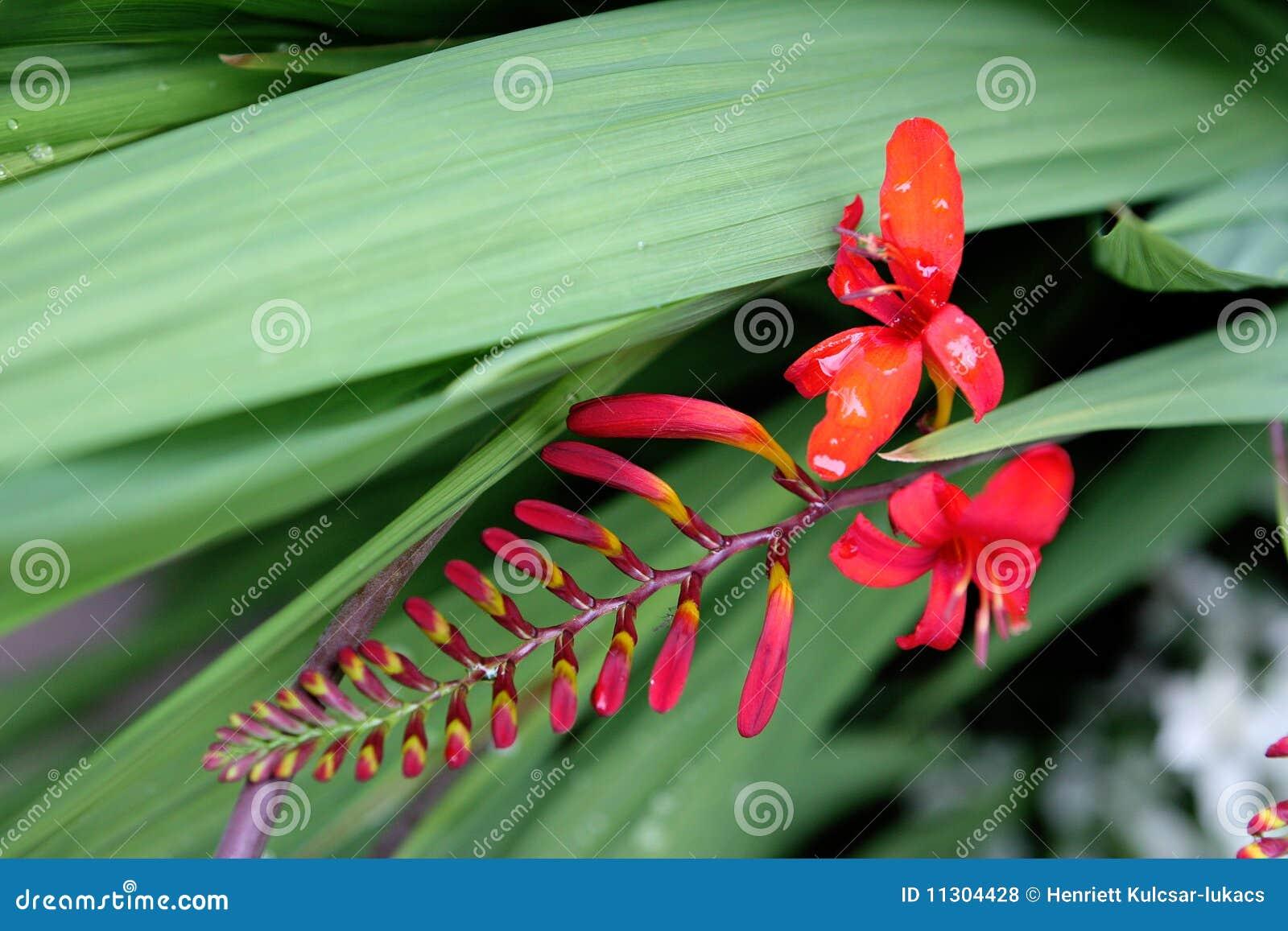 Erstaunliche rote Blume