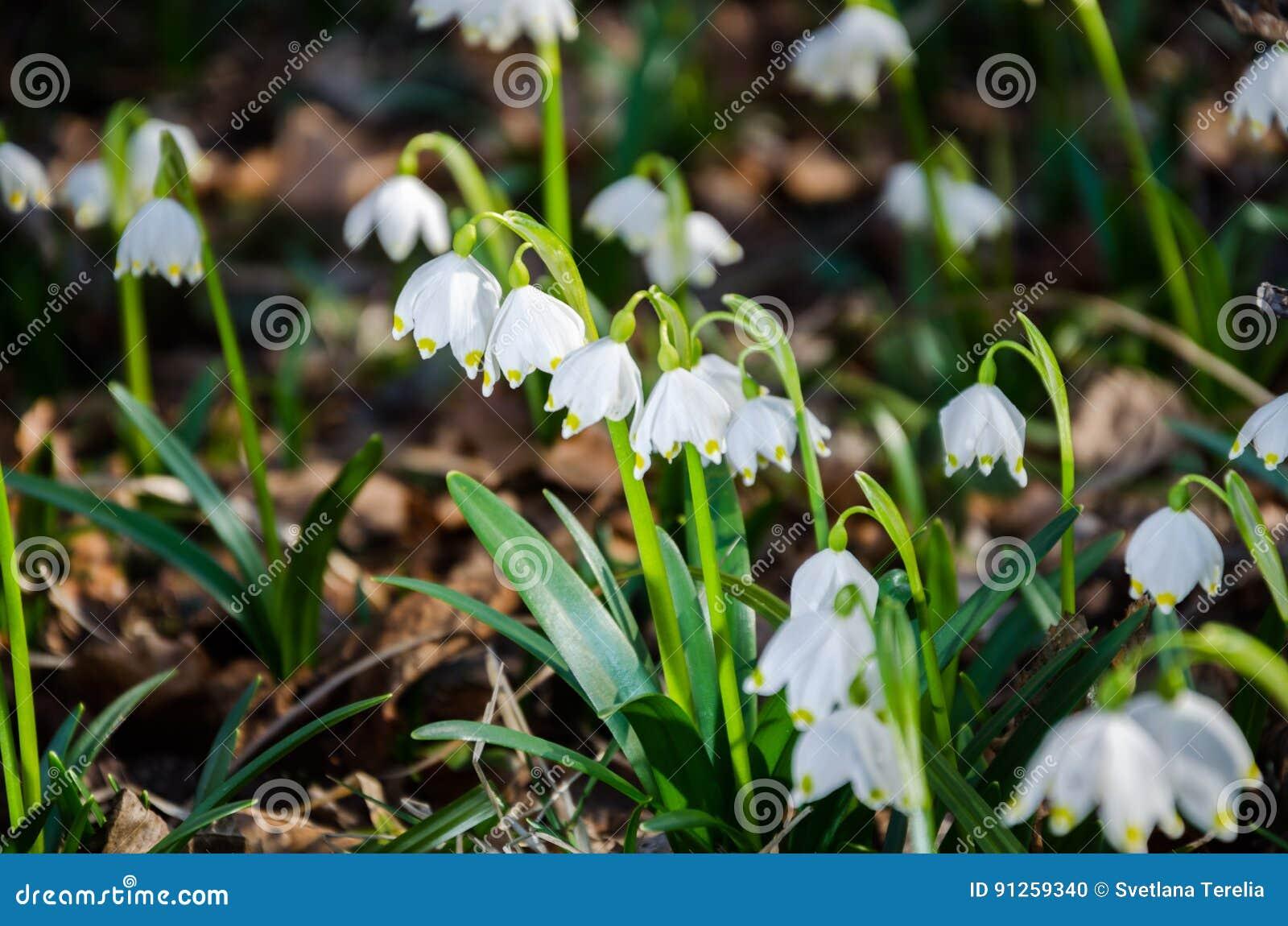 Erste Blumen Des Fruhlinges Schneeglockchenblumen Auf Einem