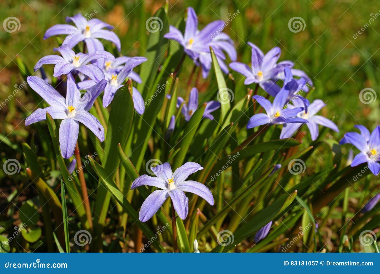 Erste Blumen Des Vorfruhlings Stockbild Bild Von Ruhm Blumen