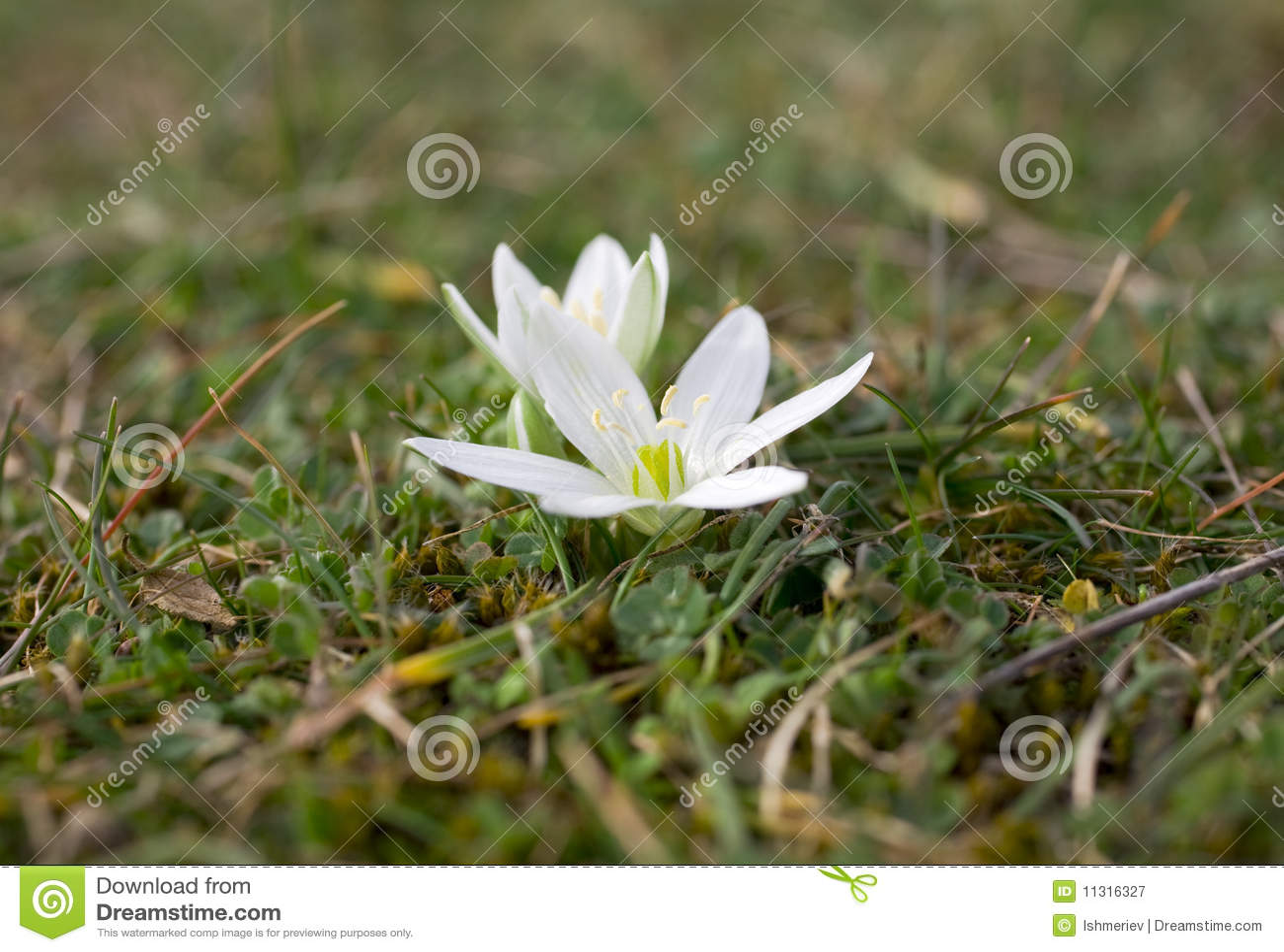 Erste Frühlingsblume