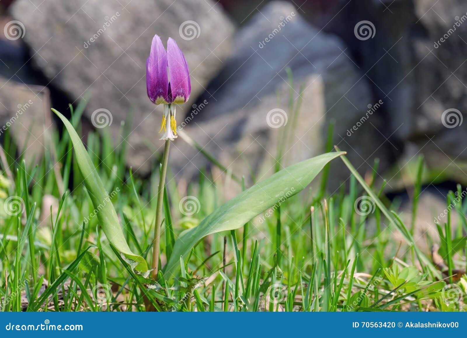 Erste Fruhlingsblumen Stockfoto Bild Von Garten Frech 70563420
