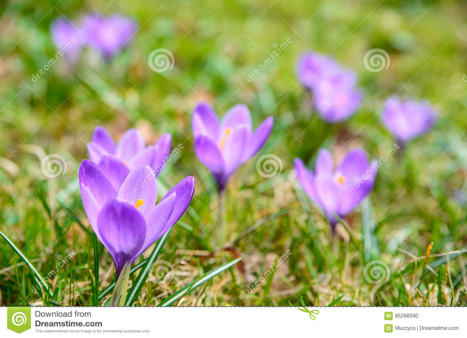 Erste Fruhlingsblumen Stockfoto Bild Von Schon Krokus 85288590