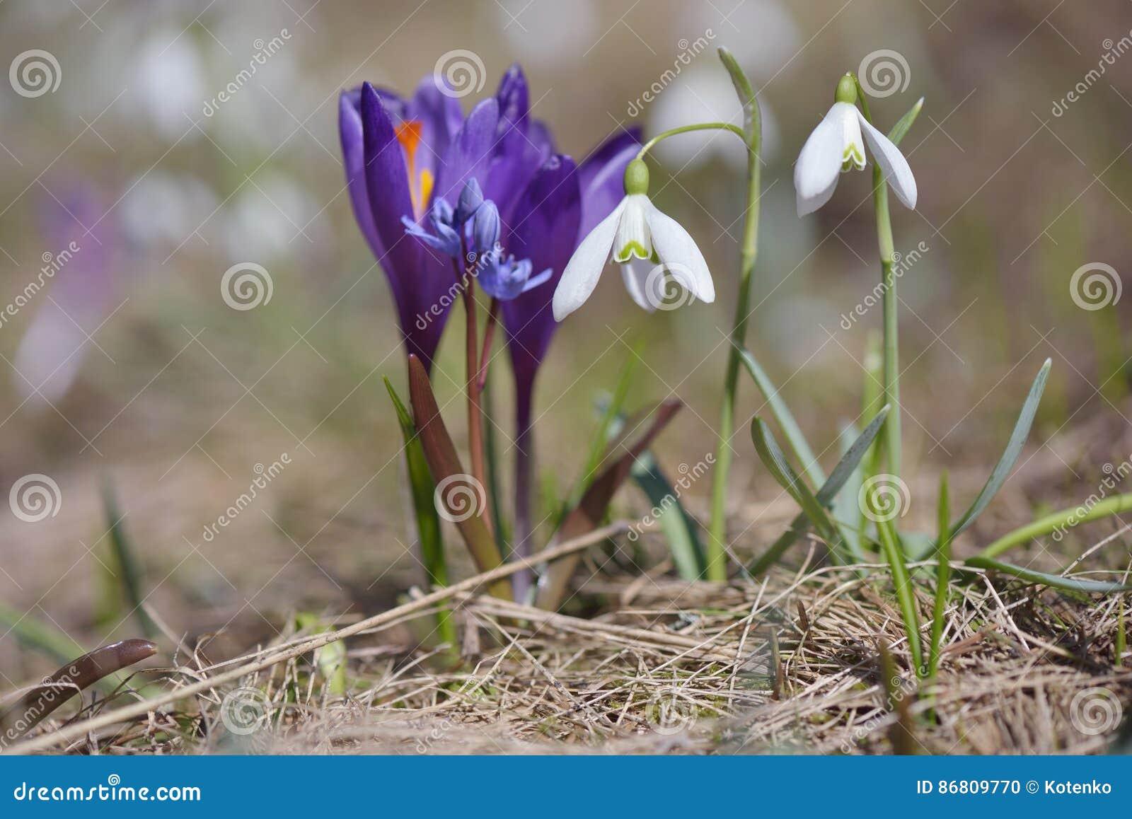 Erste Fruhlingsblumen Auf Einer Bergwiese Stockfoto Bild Von Grun