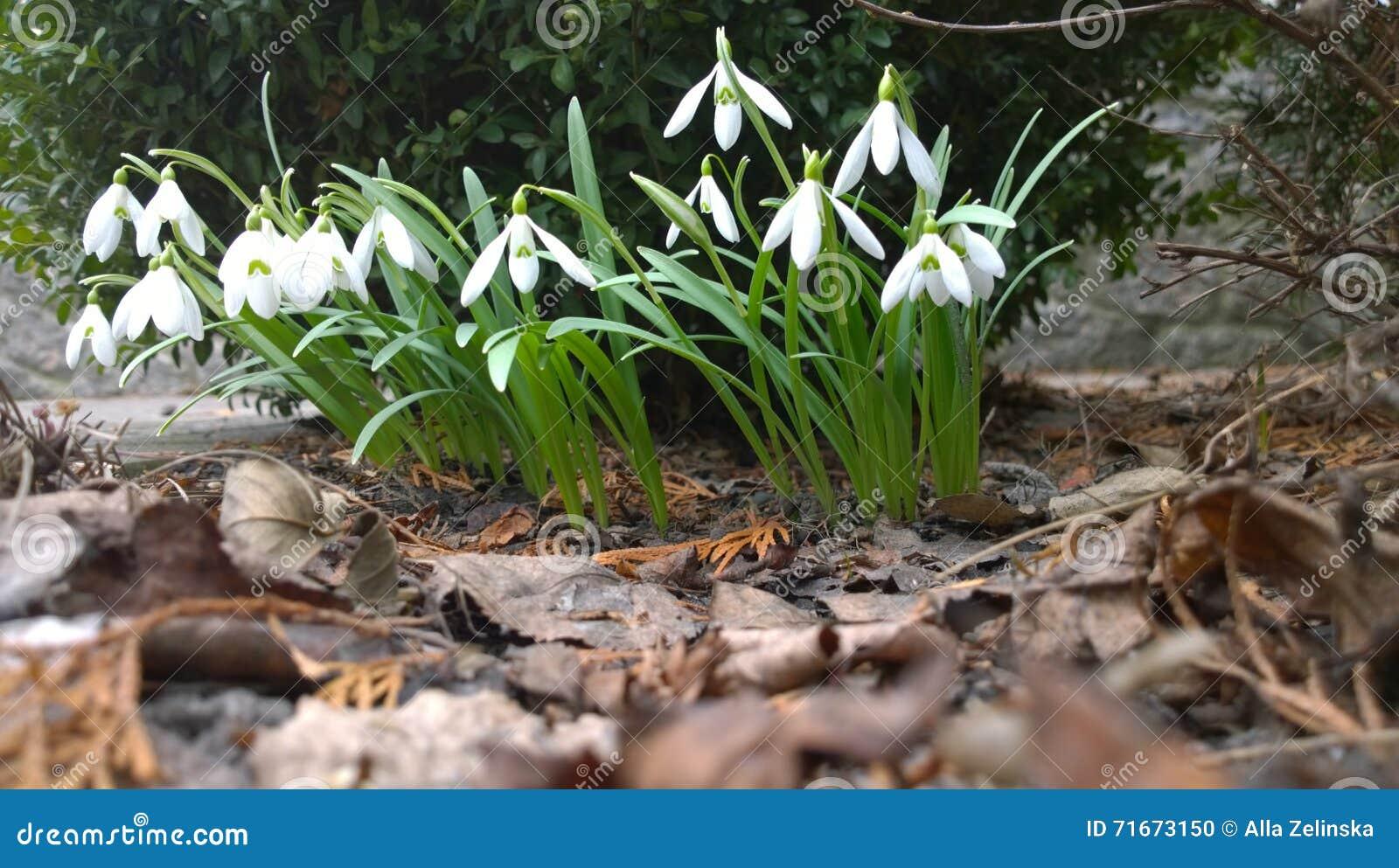 Erste Weiße Frühlingsblumen Und Trocknen Blätter Im Garten Stockfoto ...