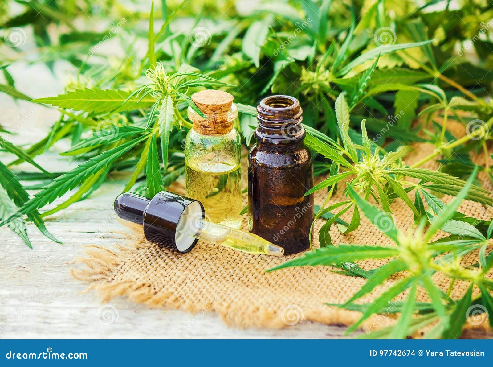 Erva e folhas do cannabis para o tratamento