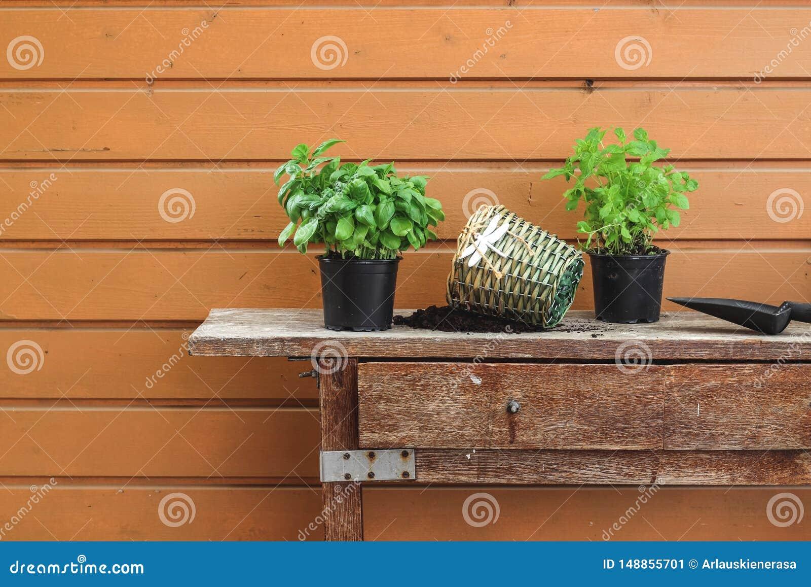 Ervas do Re-potting em uma tabela velha do jardim na mola