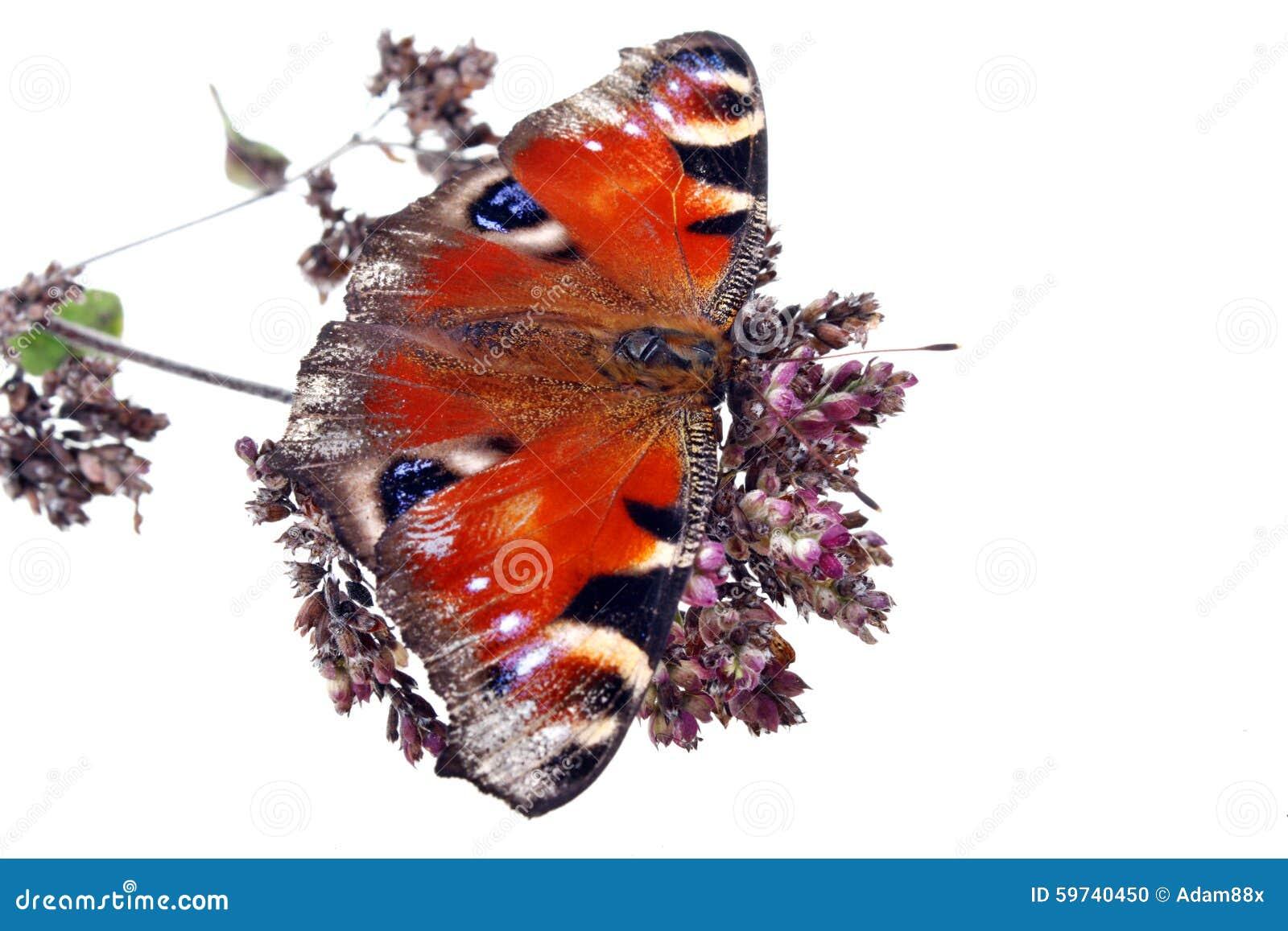 Ervas e borboleta do pulegium do mentha da hortelã