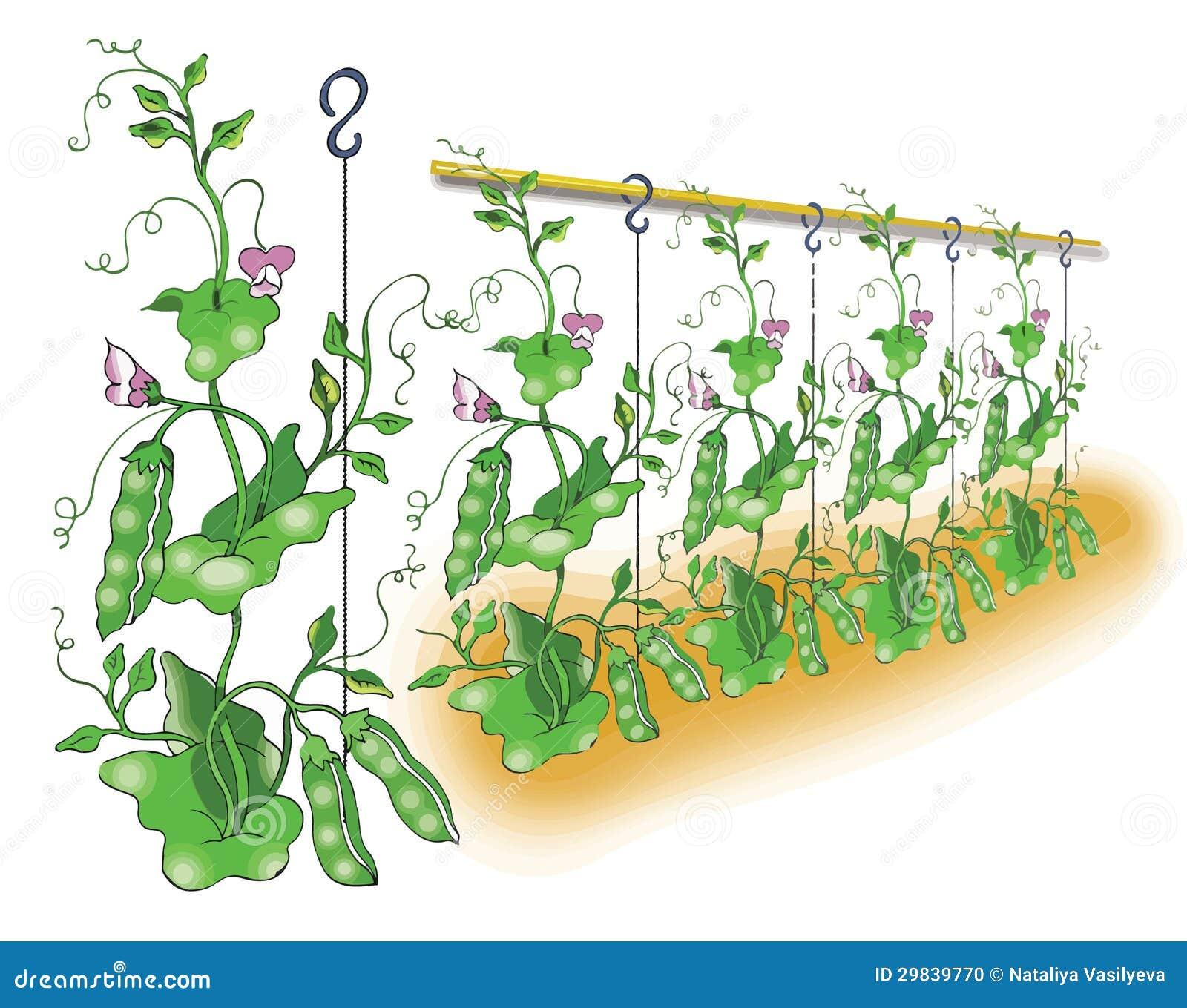 Ervilha verde que planta a ilustração