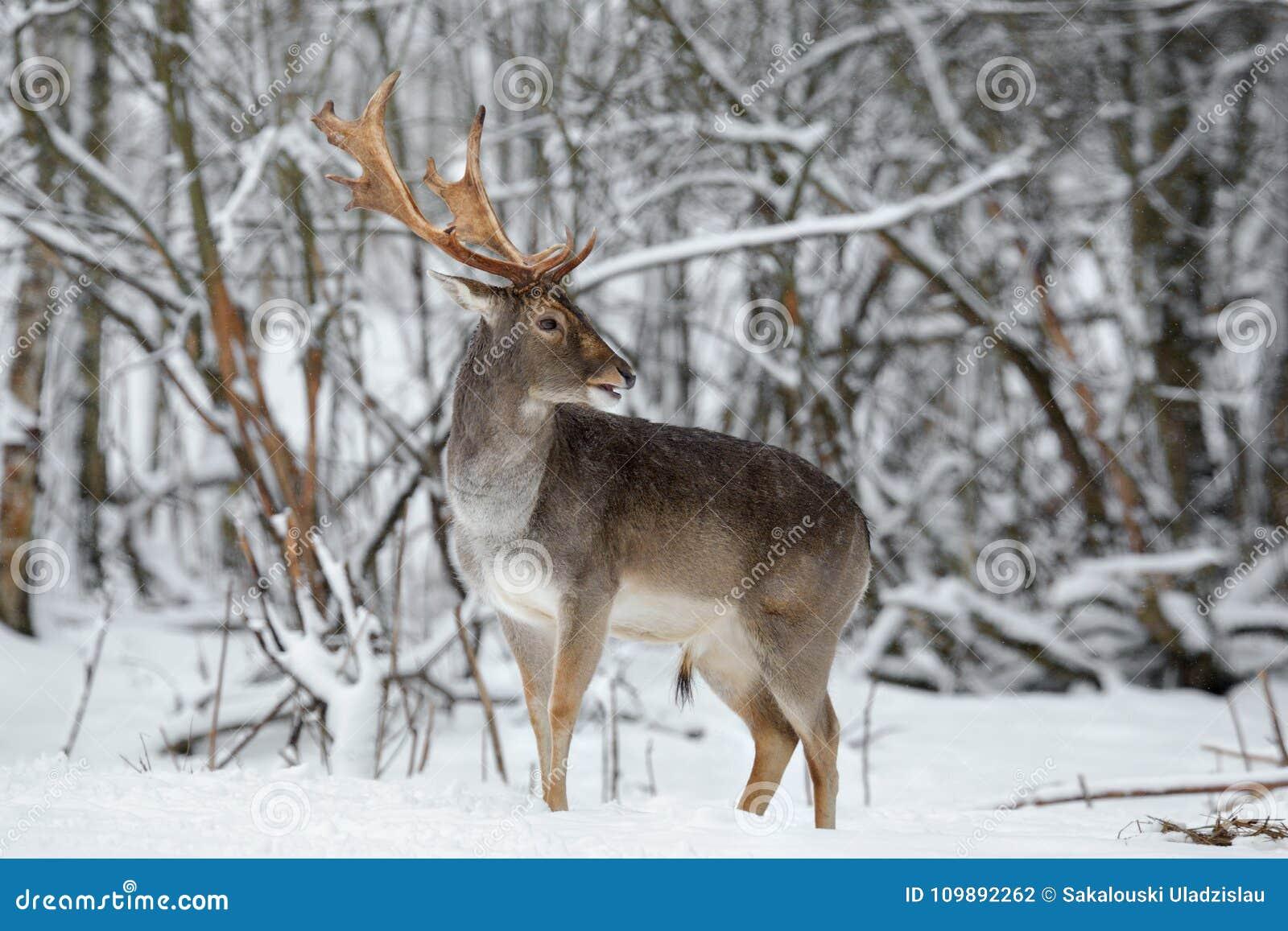 Erwachsene Damhirsche Buck Close Up Majestätische starke Damhirsche, Dama Dama, in Winter ForestWildlife-Szene mit Rotwild-Hirsch