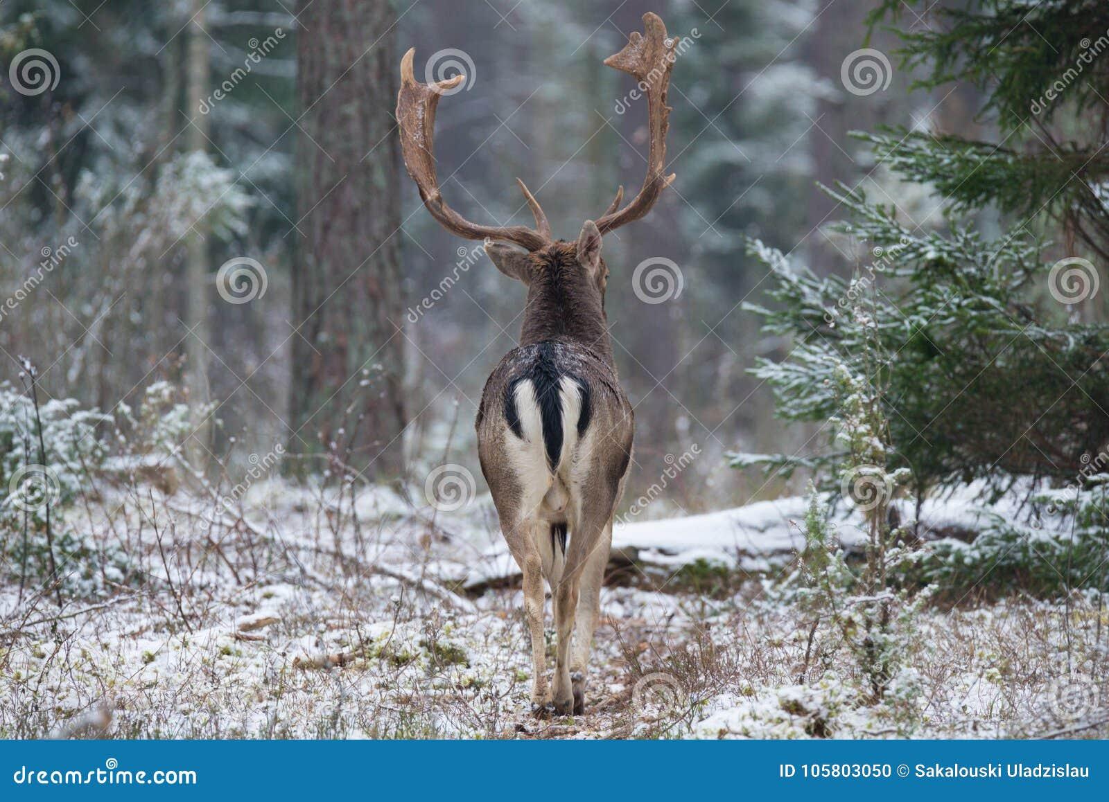 Erwachsene Damhirsche sträuben sich, steigen in den Wald, hintere Ansicht ein Majestätische starke erwachsene Damhirsche, Dama Da