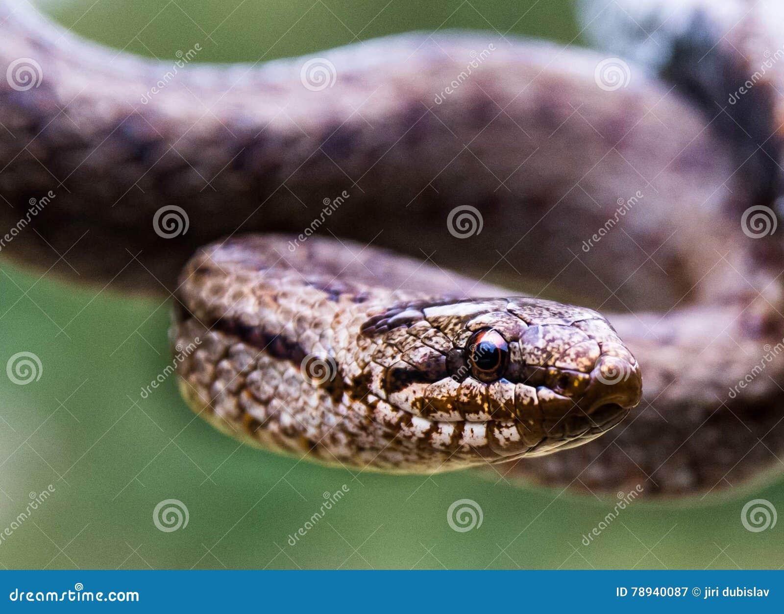 Erwachsene glatte Schlange