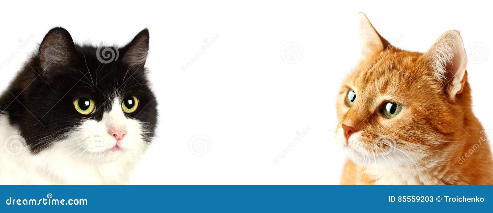 Erwachsene Katzen der Mündung zwei, lokalisiert
