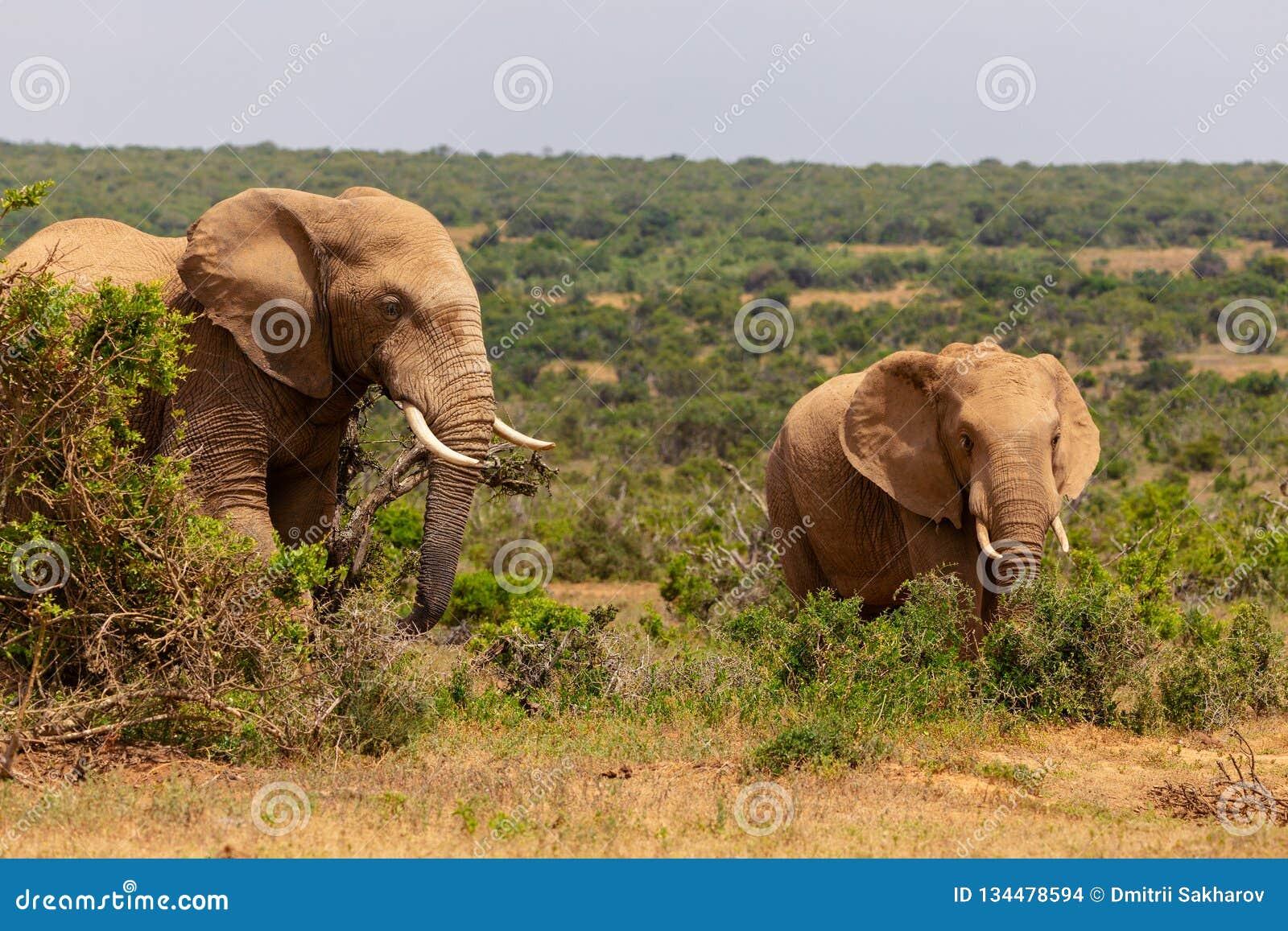 Erwachsener Elefant und Babyelefant, der zusammen in Addo National Park geht