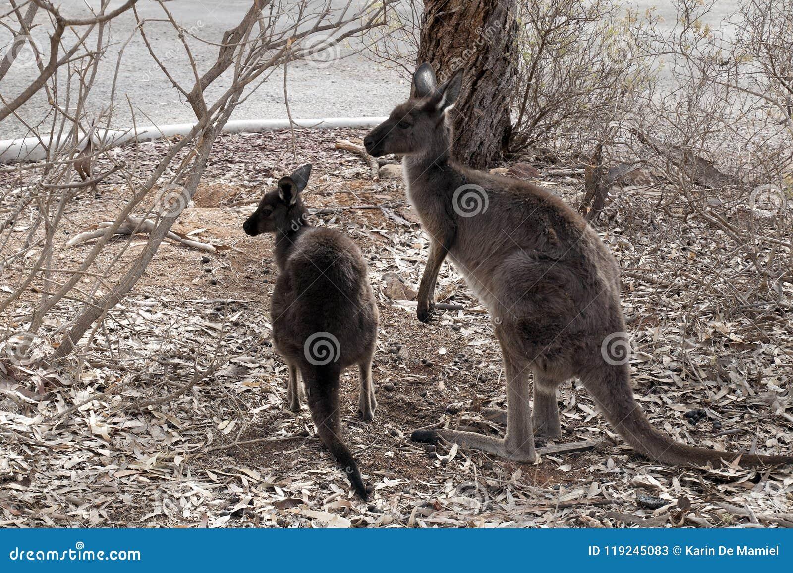 Erwachsener Känguru mit joey