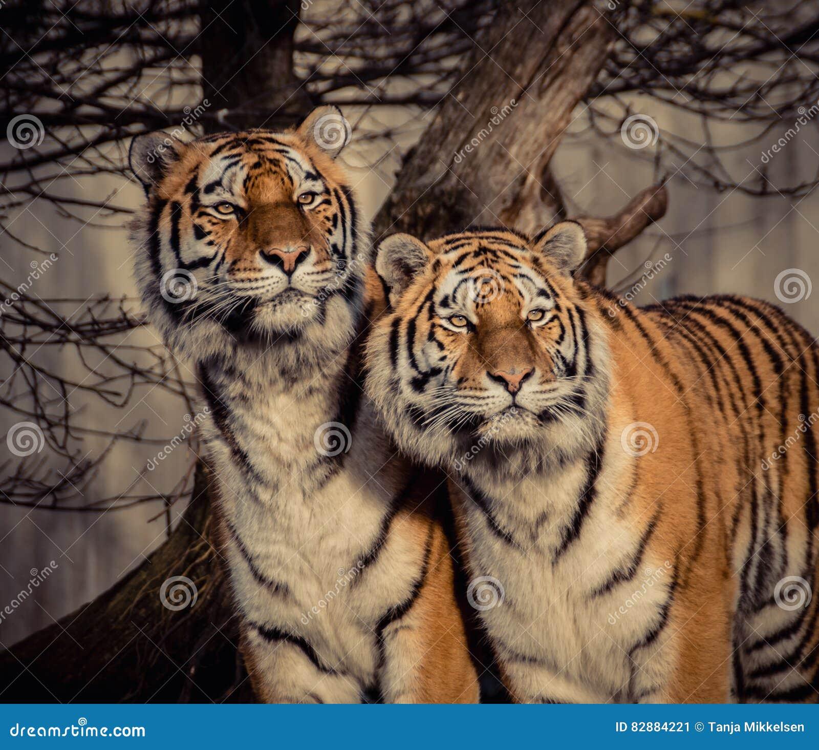 Erwachsener Mannsibirier Amur-Tiger