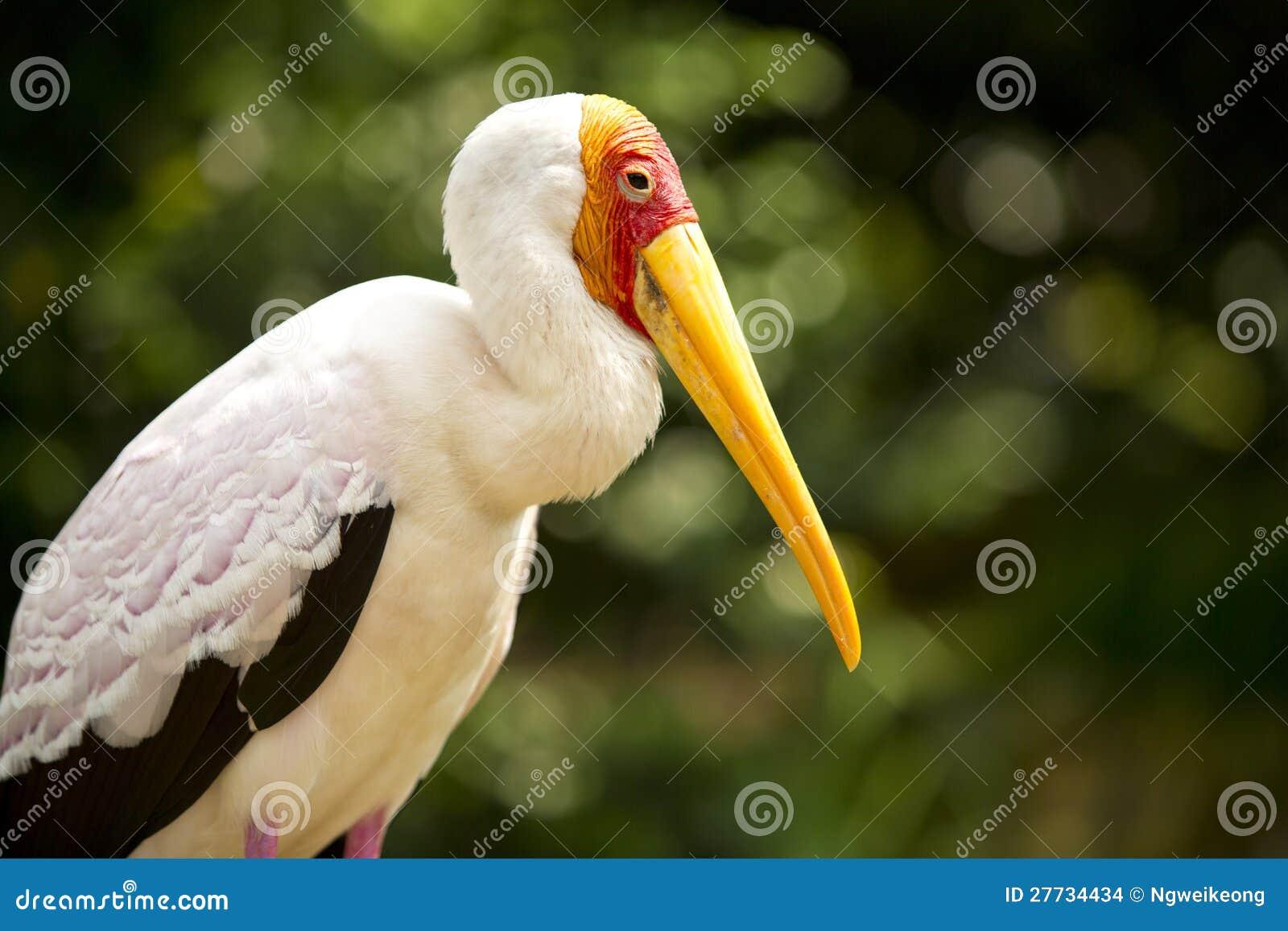 Erwachsener milchiger Storch