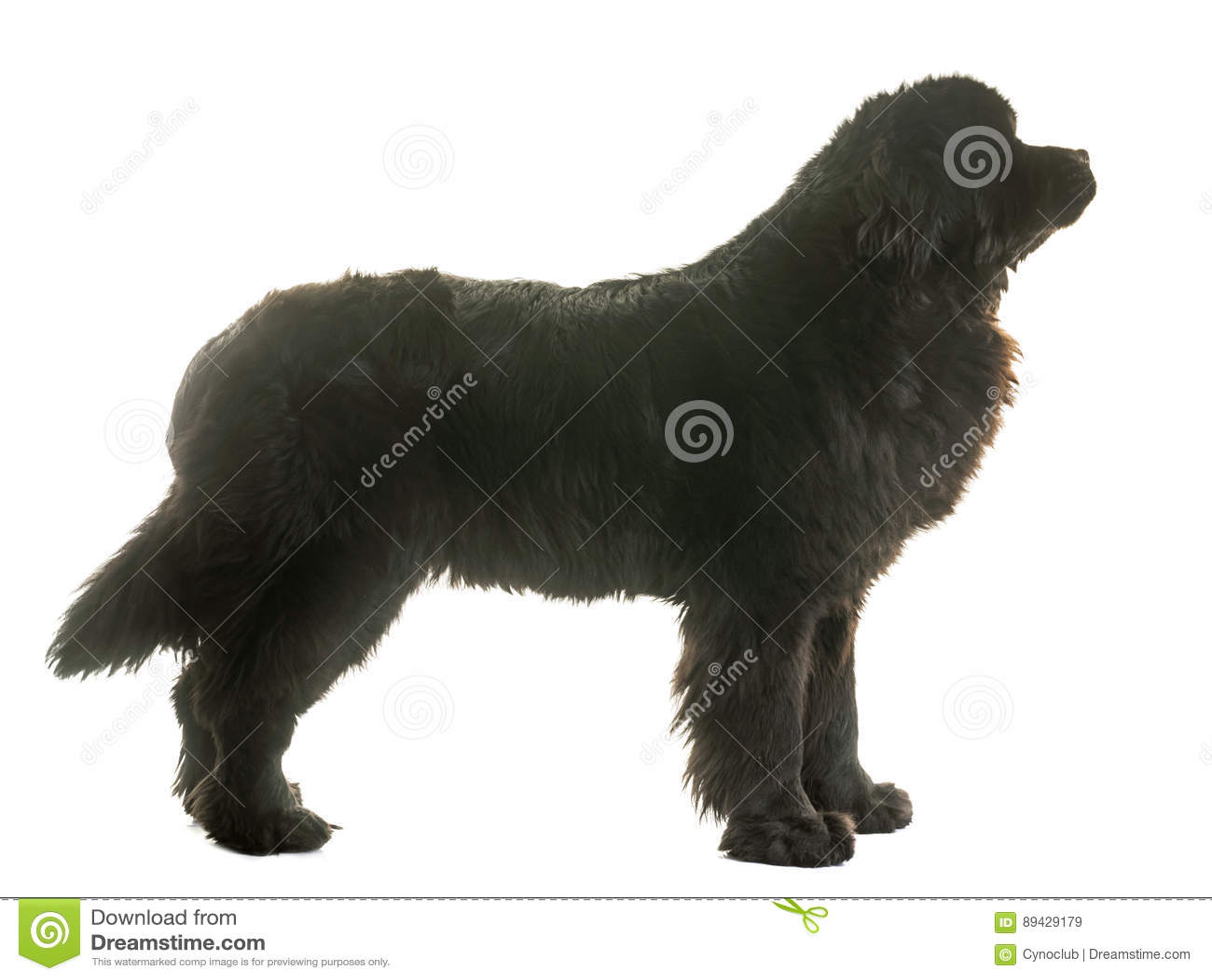 Erwachsener Neufundland-Hund
