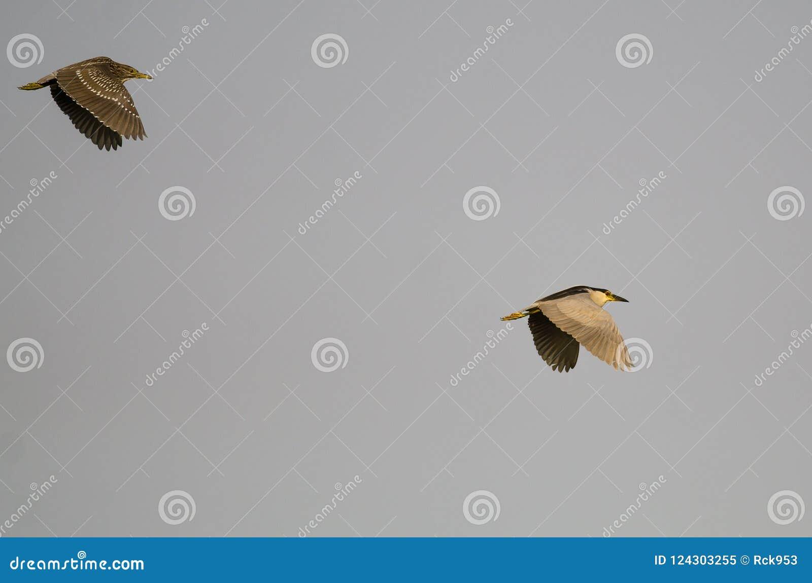 Erwachsener Schwarz-krönte Nacht-Reiher-Fliegen mit seinen Jungen in einem blauen Himmel