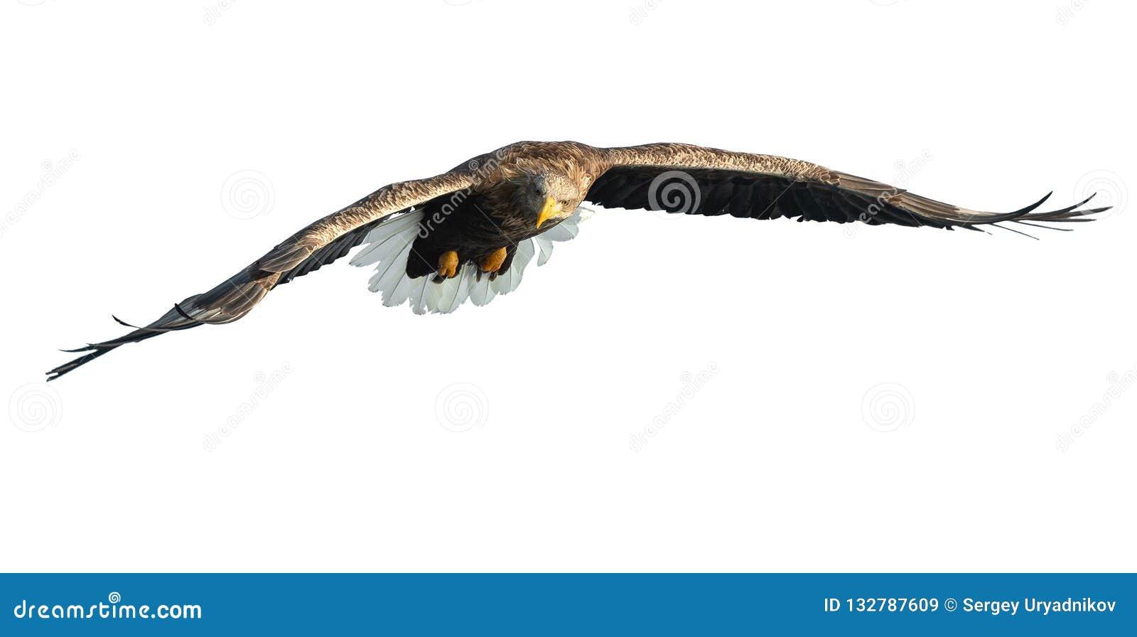 Erwachsener Seeadler im Flug Getrennt auf weißem Hintergrund