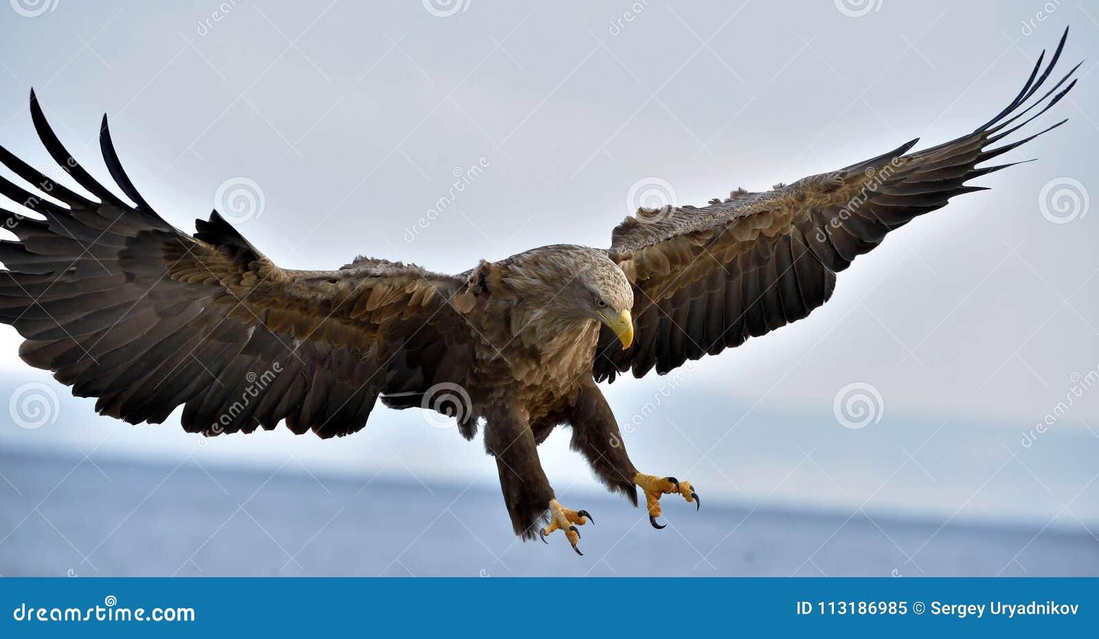 Erwachsener Seeadler im Flug Hintergrund des blauen Himmels