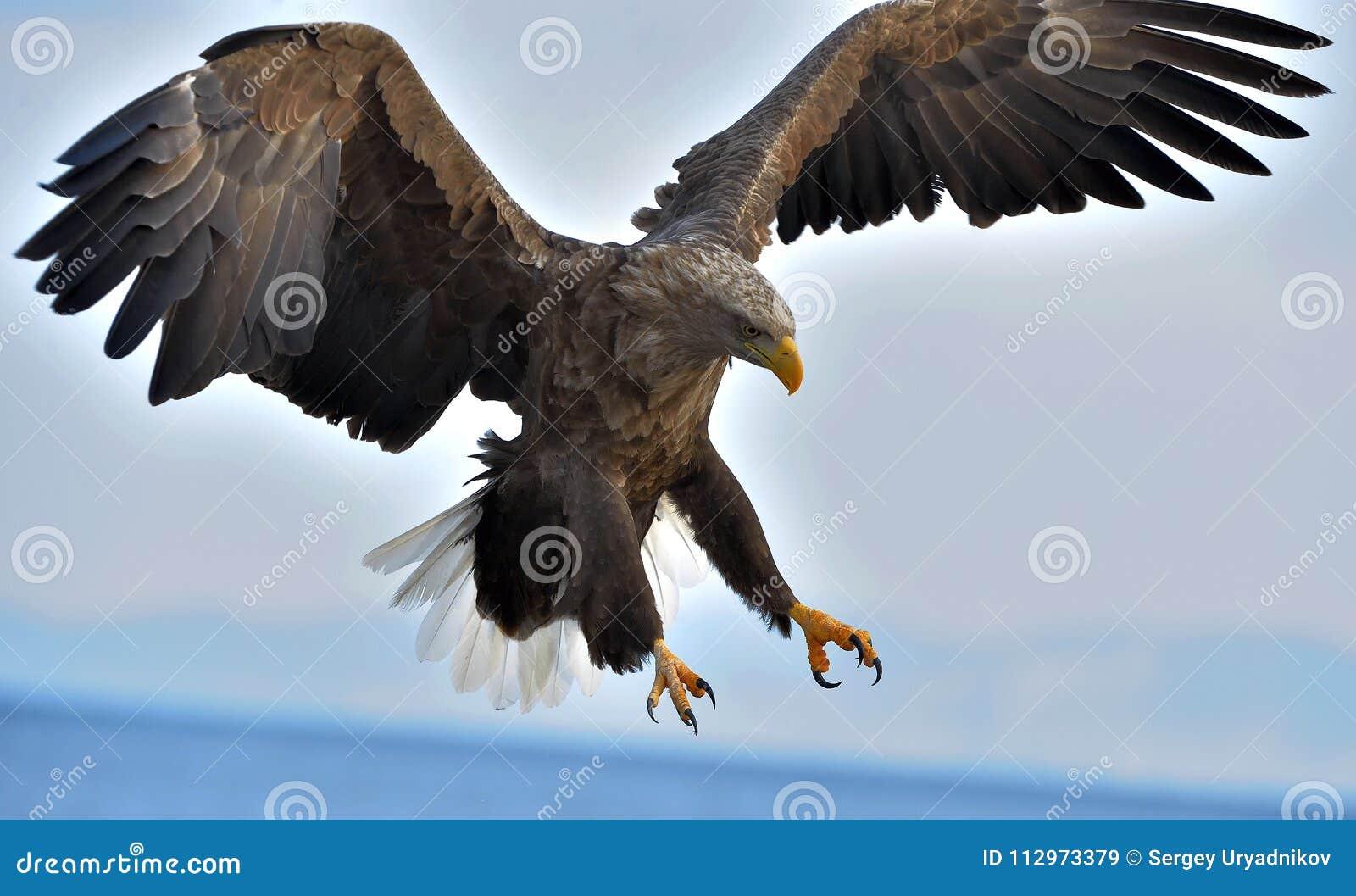 Erwachsener Seeadler im Flug Wissenschaftlicher Name: Haliaeetus albicilla