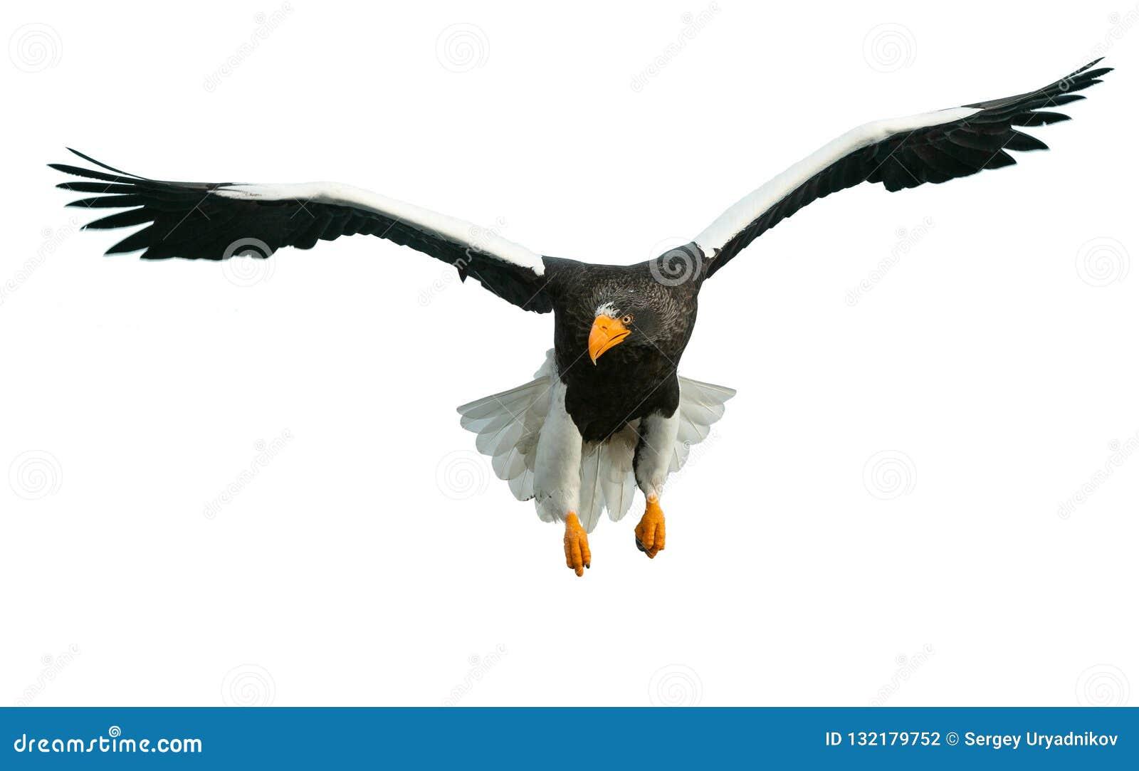 Erwachsener Steller-` s Seeadler im Flug Front View Getrennt auf weißem Hintergrund
