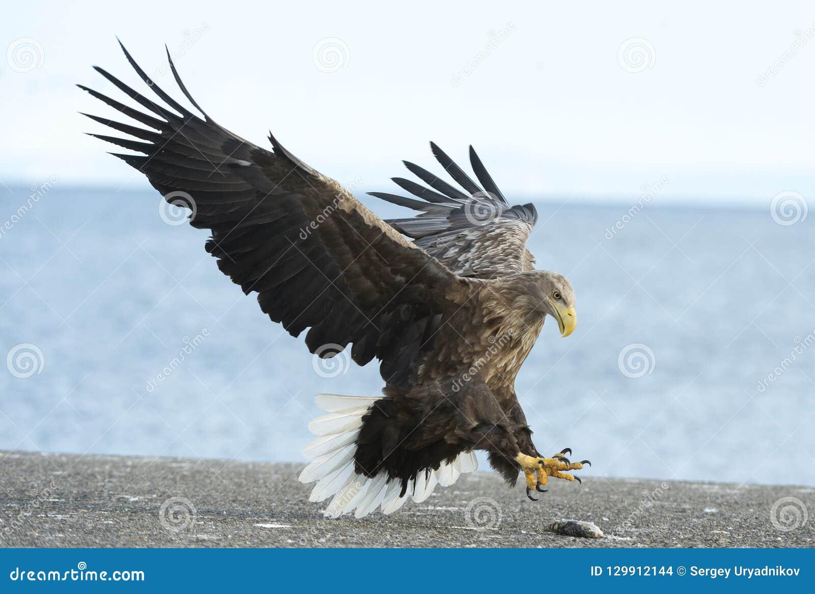 Erwachsener weißer angebundener Adler landete Hintergrund des blauen Himmels und des Ozeans