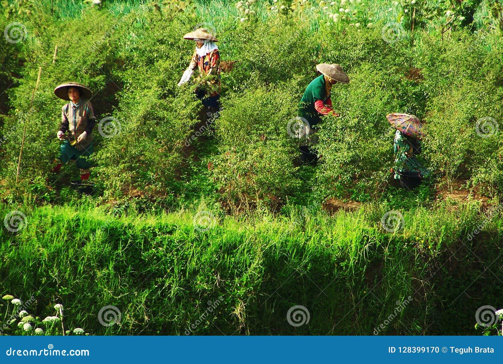 Erwtenlandbouwer Traditional In West Java, Indonesië