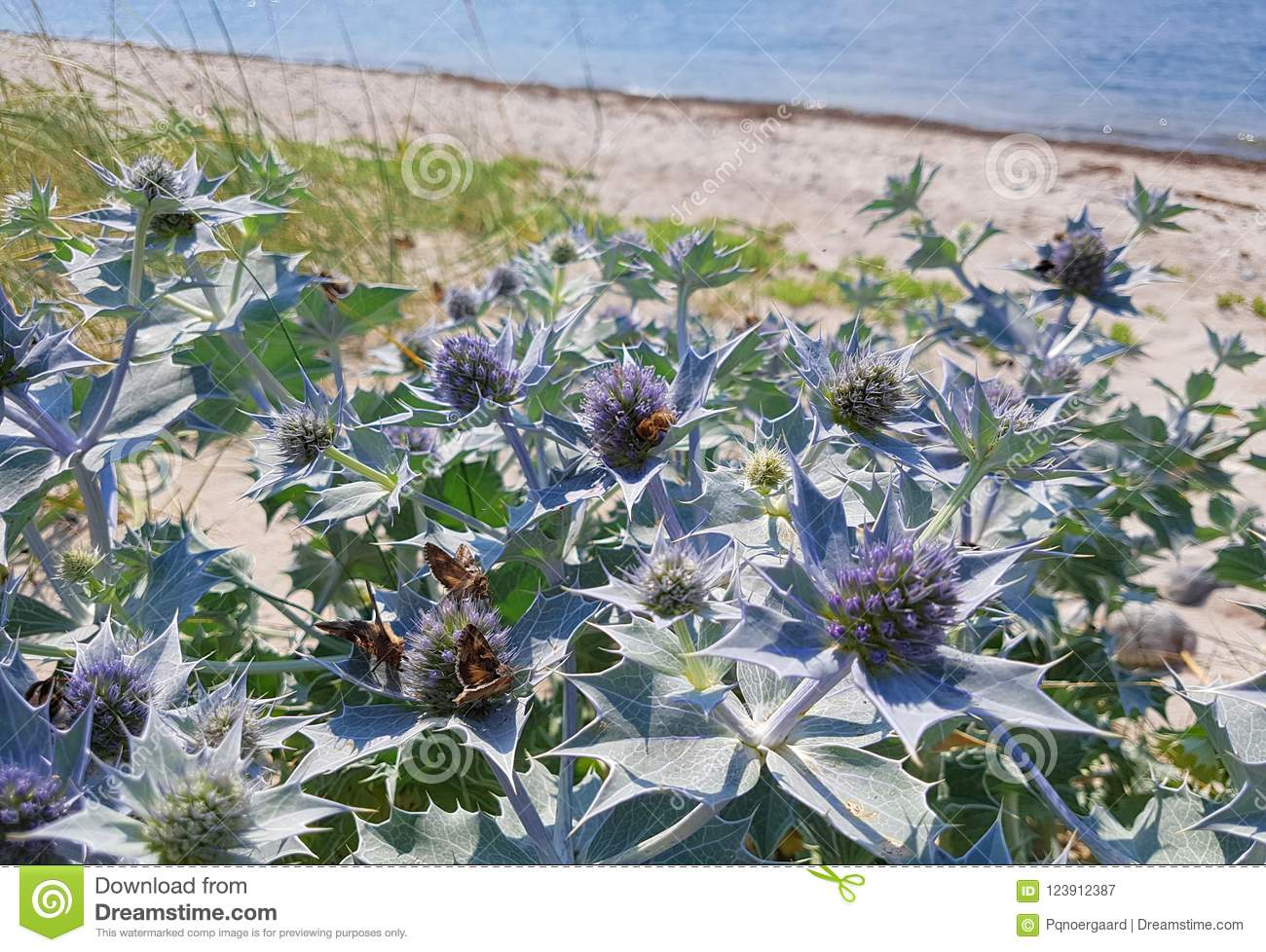 Beach Sea Holly Plant With Purple Flowers Growing By The Coast