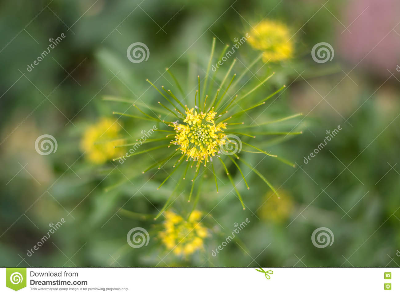 Erysimum Cheiranthoides Stock Image Image Of Leaf Close 70705839