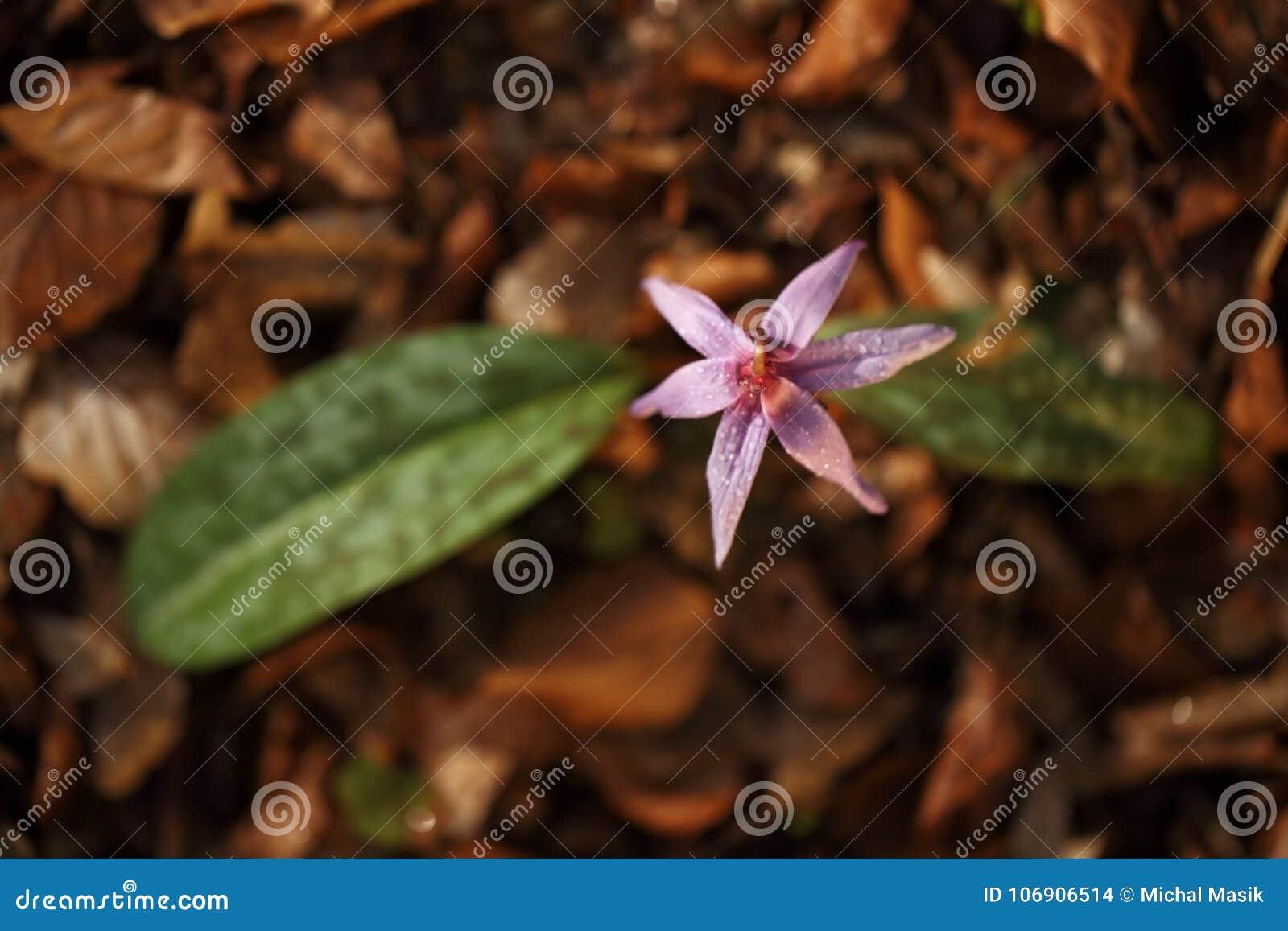 Erythronium canis Ja jest jedynymi gatunkami genus Erythronium który r w Europa