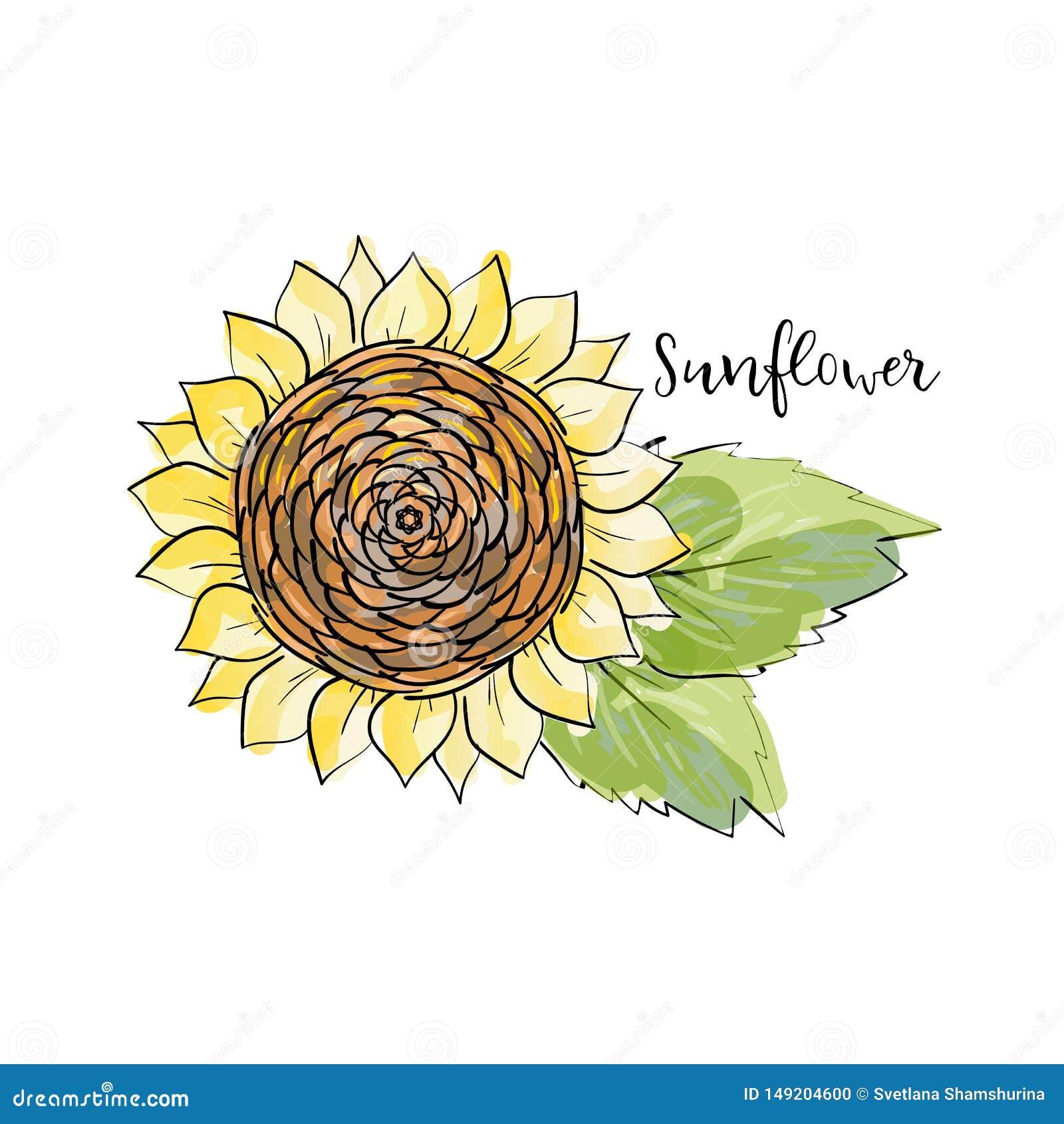 Esboço colorido do verão, estilo copic do marcador da aquarela Girassol brilhante e borrado com folhas Rotulando o girassol da in