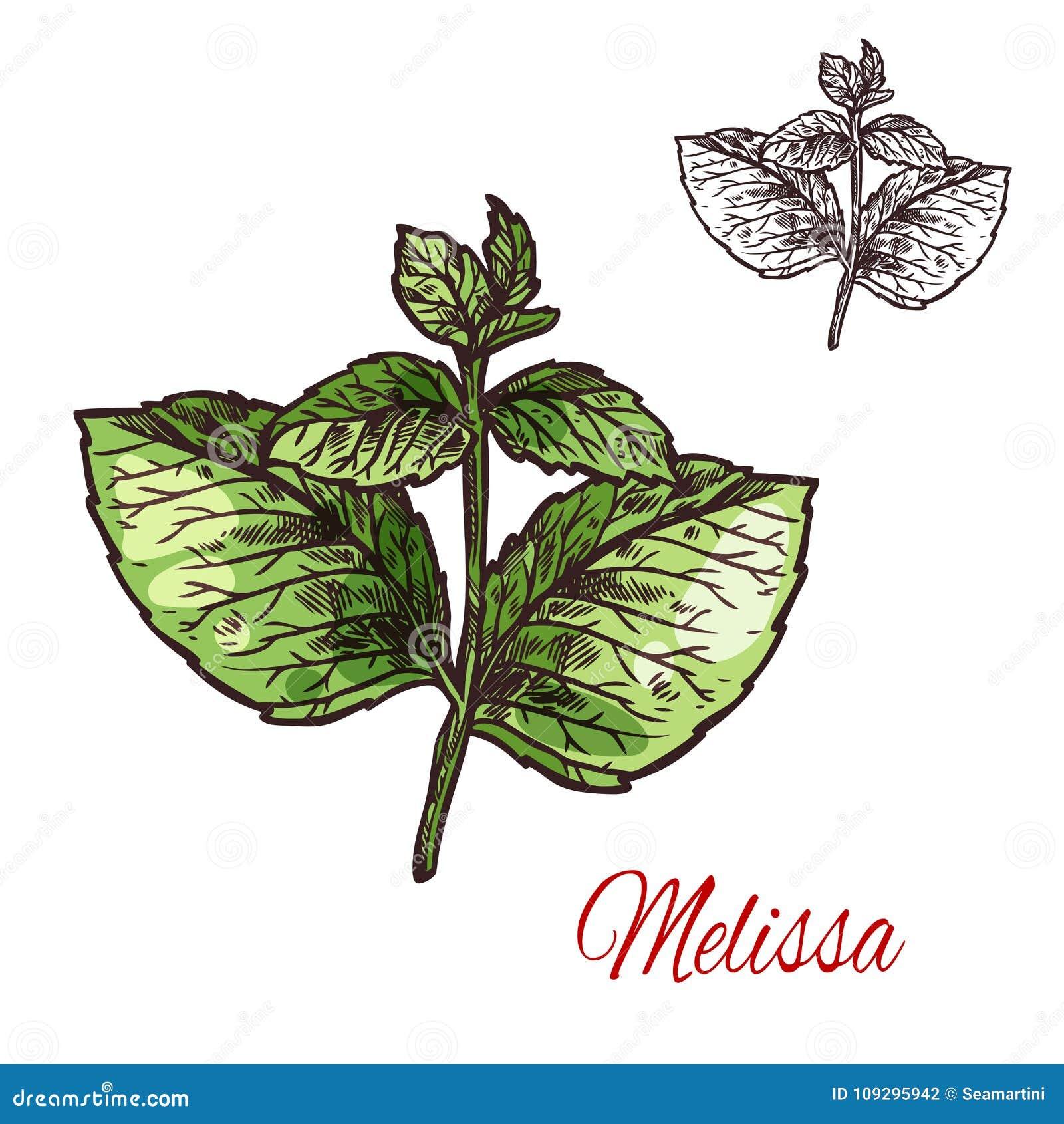 Esboço da folha de Melissa da planta e da erva médicas do aroma