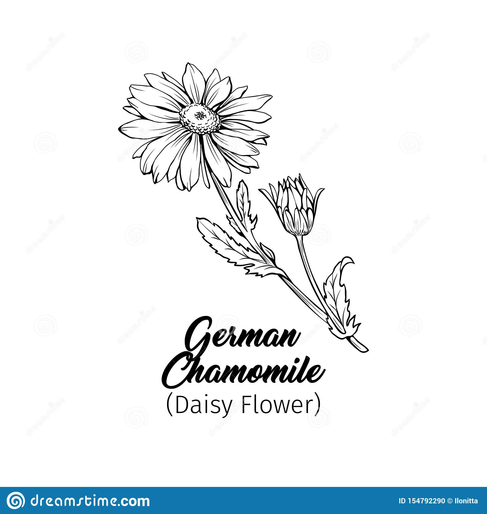 Esboço de tinta preta da camomila alemão