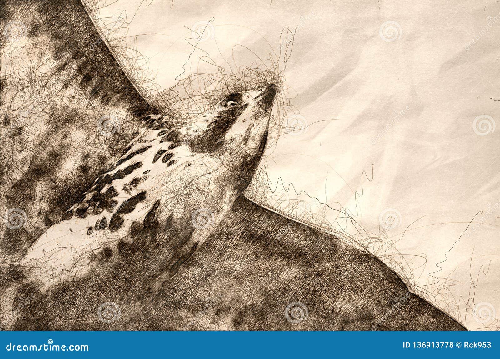 Esboço de um falcão Vermelho-atado em voo