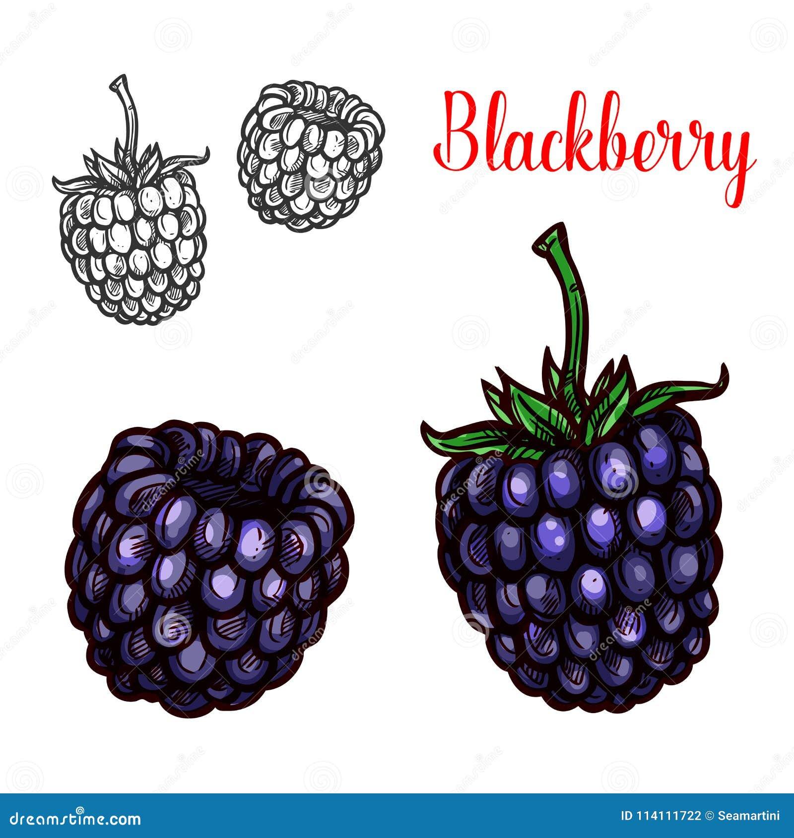 Esboço do fruto de Blackberry da baga de amora doce