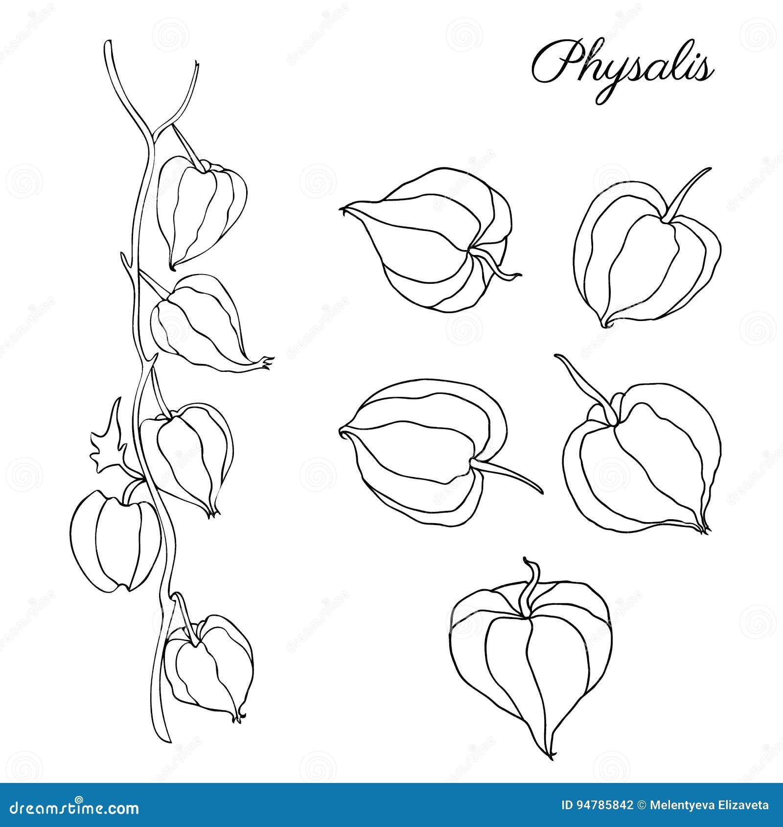 Esboço tirado mão do vetor da garatuja do Physalis isolado no fundo branco, grupo de baga gráfico, alimento saudável orgânico