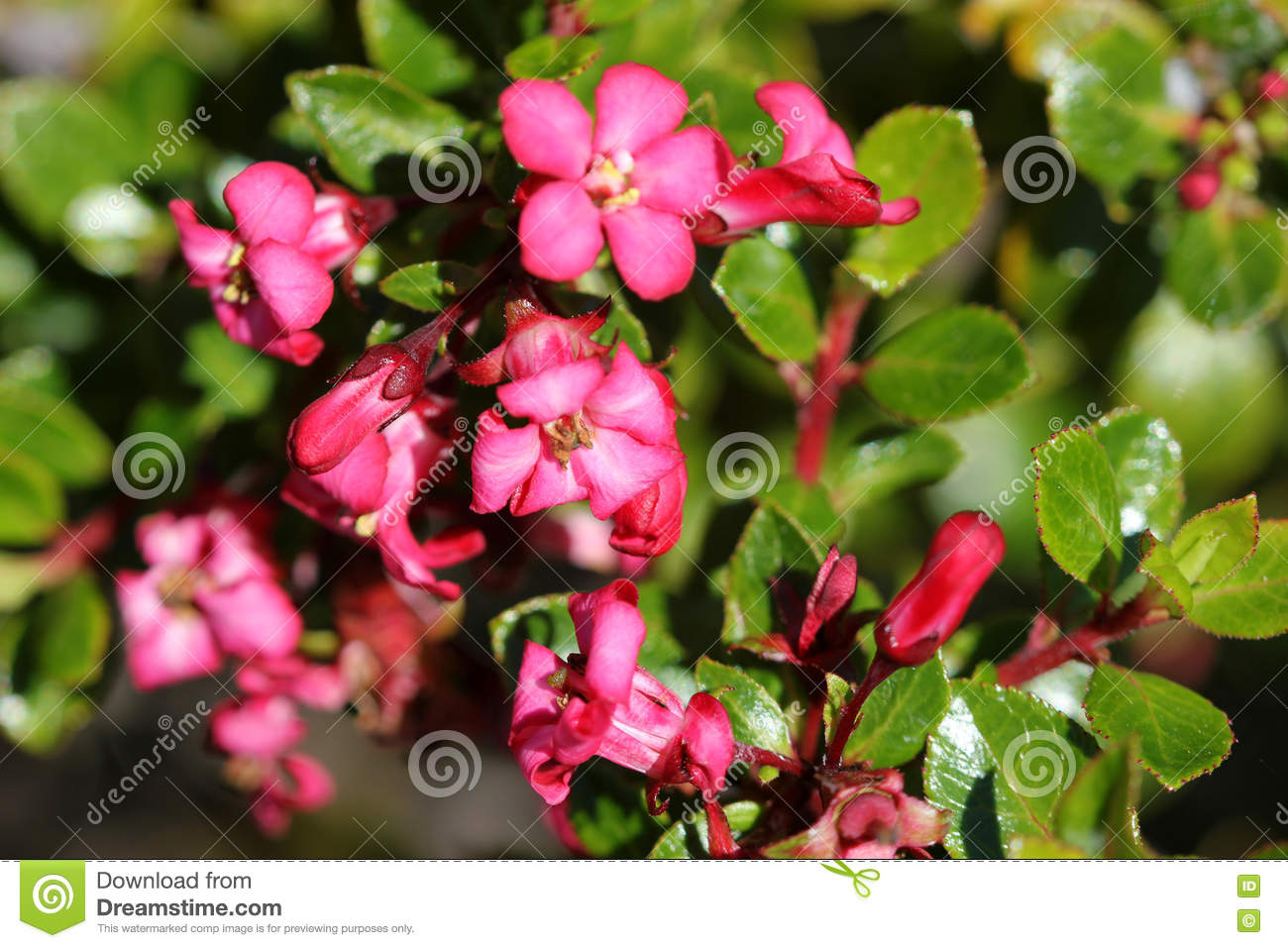 Escallonia Compact Red Stock Photo Image Of Evergreen 75141902