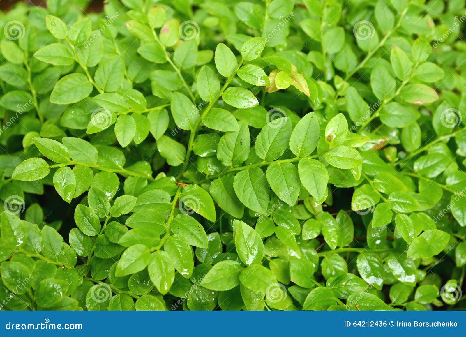 Escapes del verde del ordinario del arándano (myrtillus L del Vaccinium ), CCB